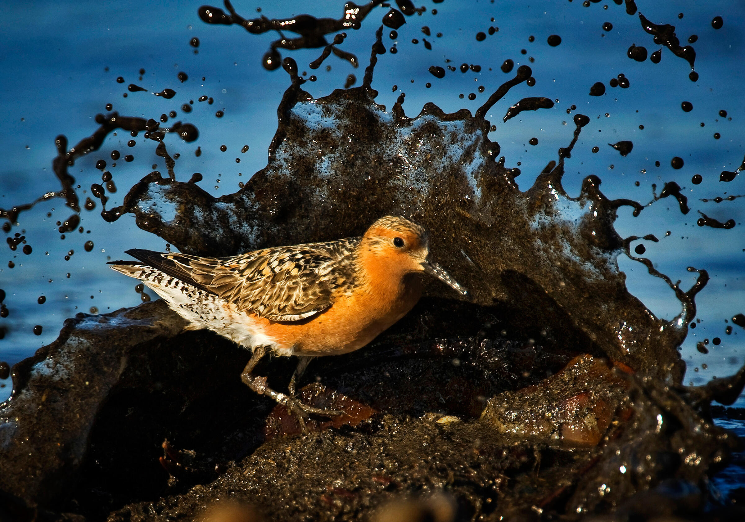A knot at Delaware Bay. More than half the Atlantic Flyway's Red Knots, Ruddy Turnstones, and Semipalmated Sandpipers gorge on horseshoe crab eggs here during migration. Kevin Flemming