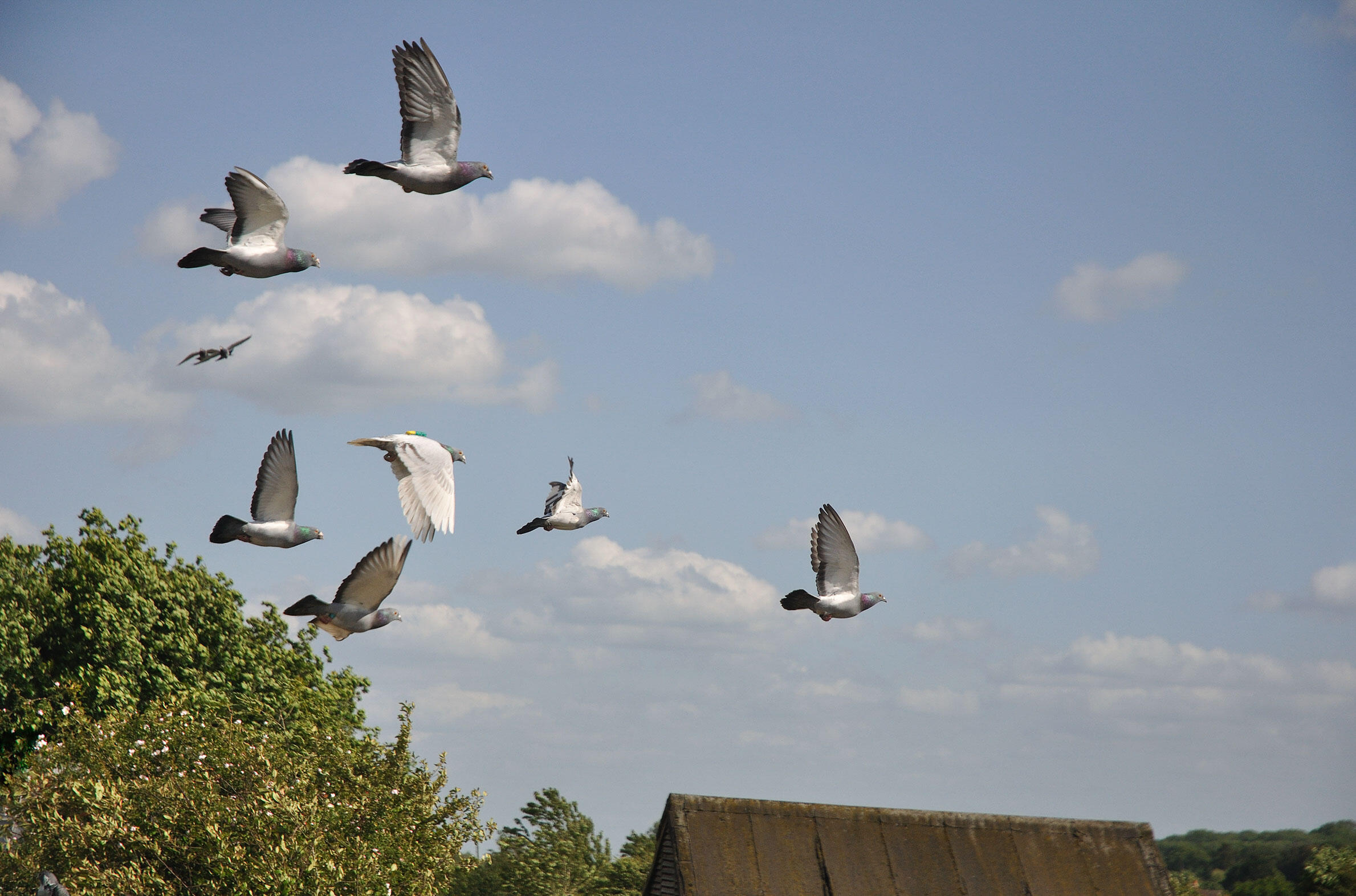 Flexible flock hierarchy lets homing pigeons collectively navigate home despite incompetent leaders. Zsuzsa Ákos