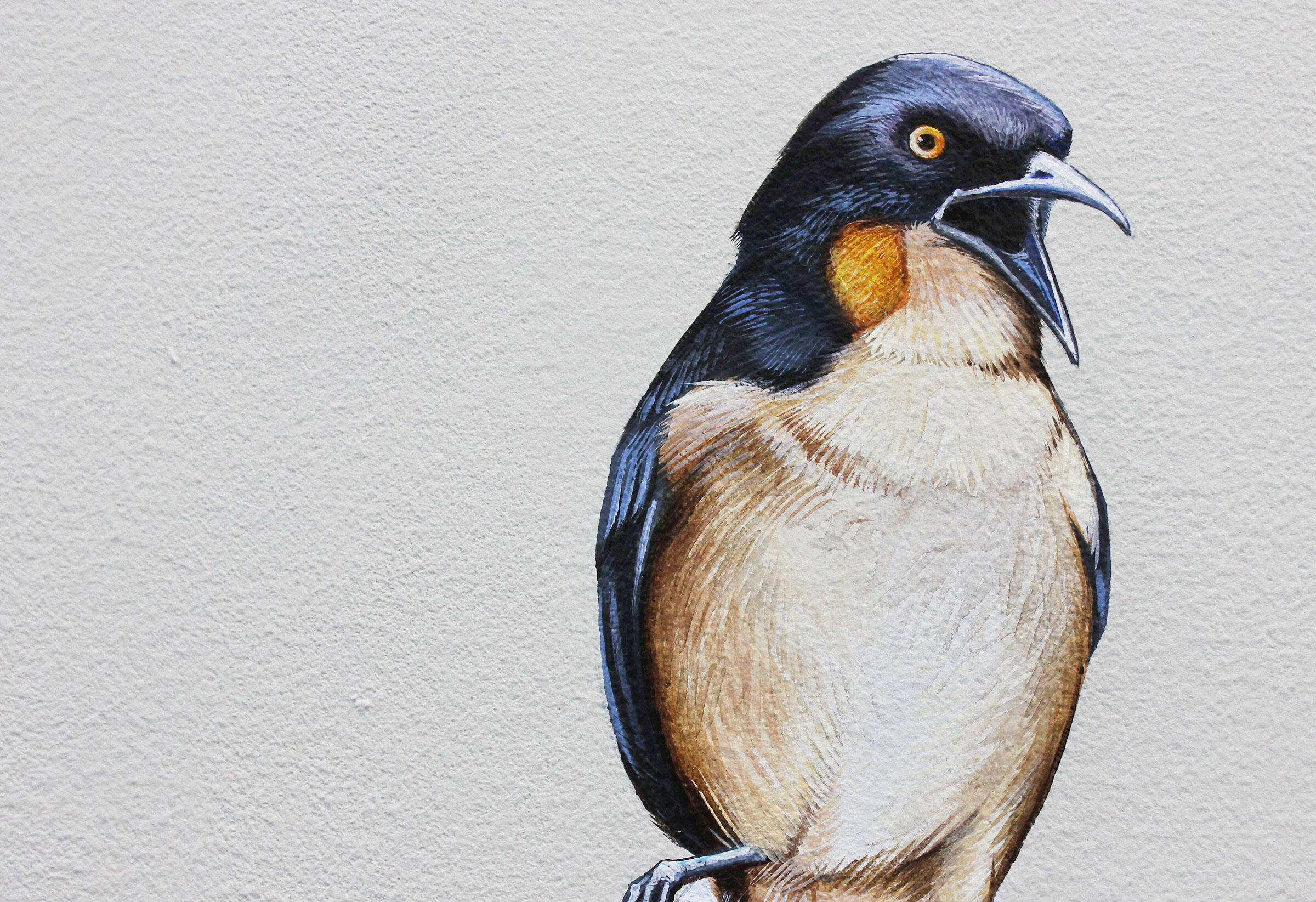 """Black-capped Donacobius. Courtesy of <a href=""""http://inkdwell.com/"""">Ink Dwell</a>"""