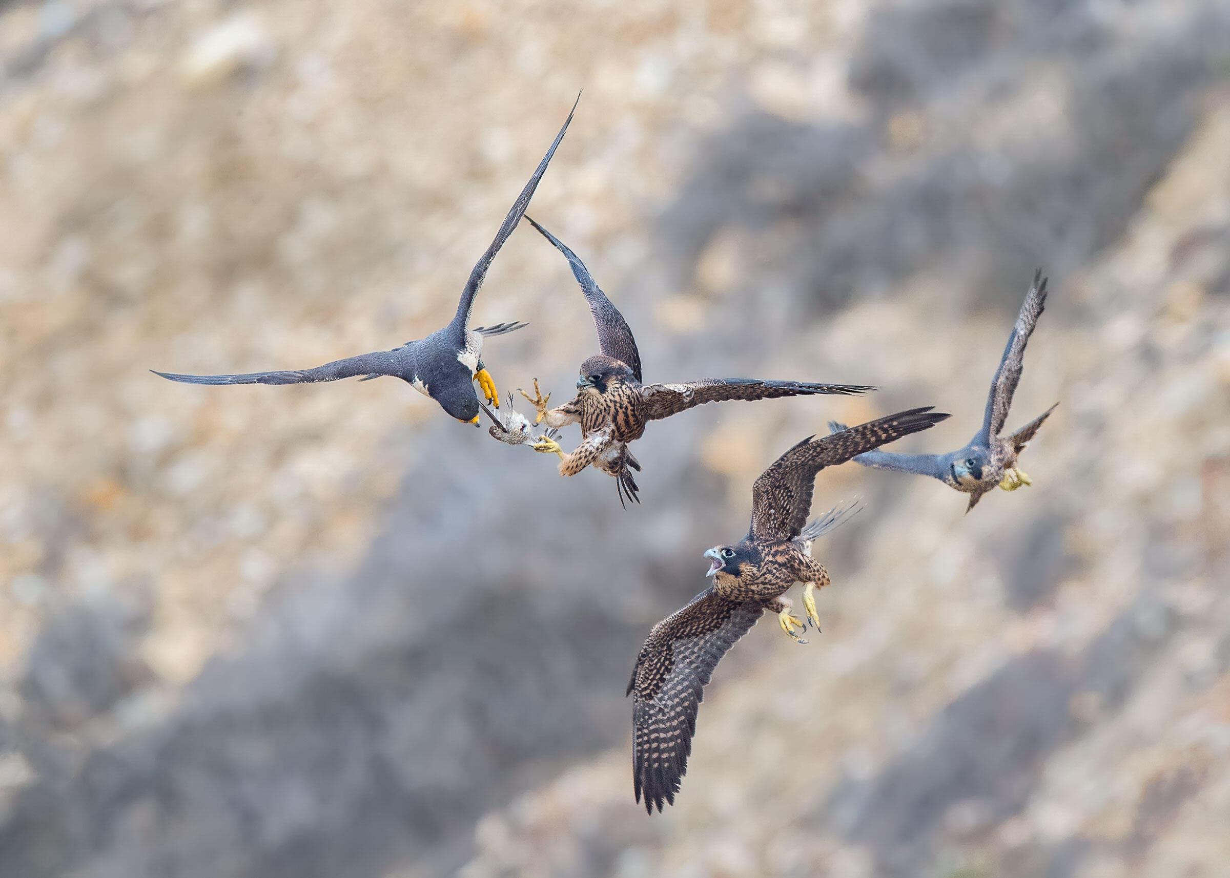 Peregrine Falcons. Glenn Conlan/Audubon Photography Awards