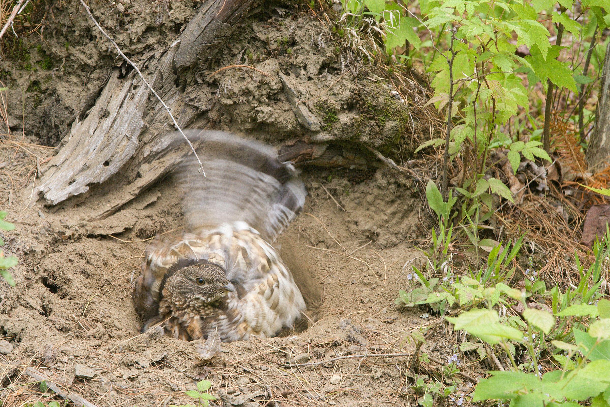 Ruffed Grouse. Elinor Osborn/Audubon Photography Awards