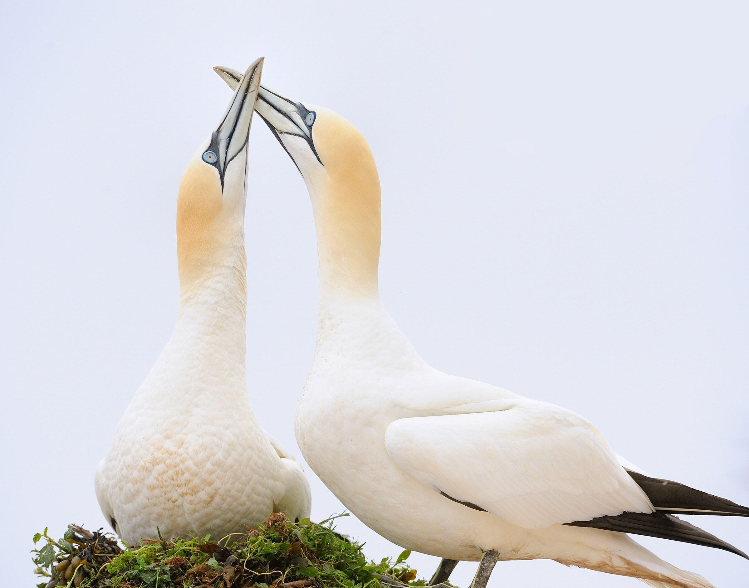 Northern Gannets. Mike Anderson/Audubon Photography Awards