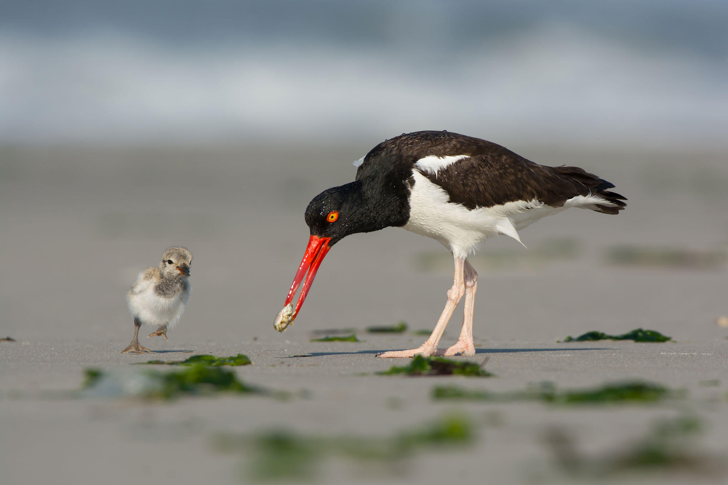 American Oystercatchers. Jesse Gordon/Audubon Photography Awards