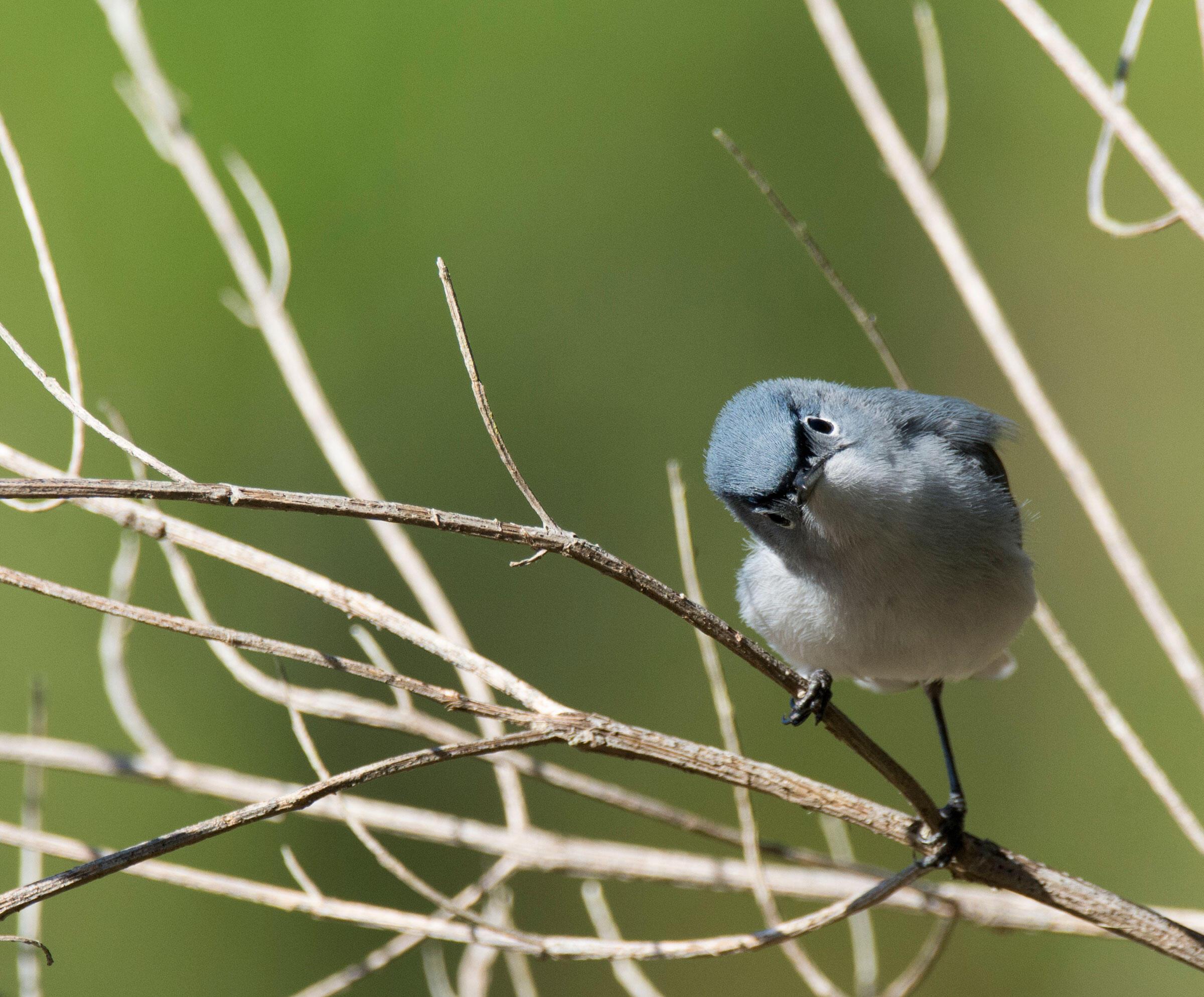 Blue-gray Gnatcatcher. Jake Zadik/Audubon Photography Awards