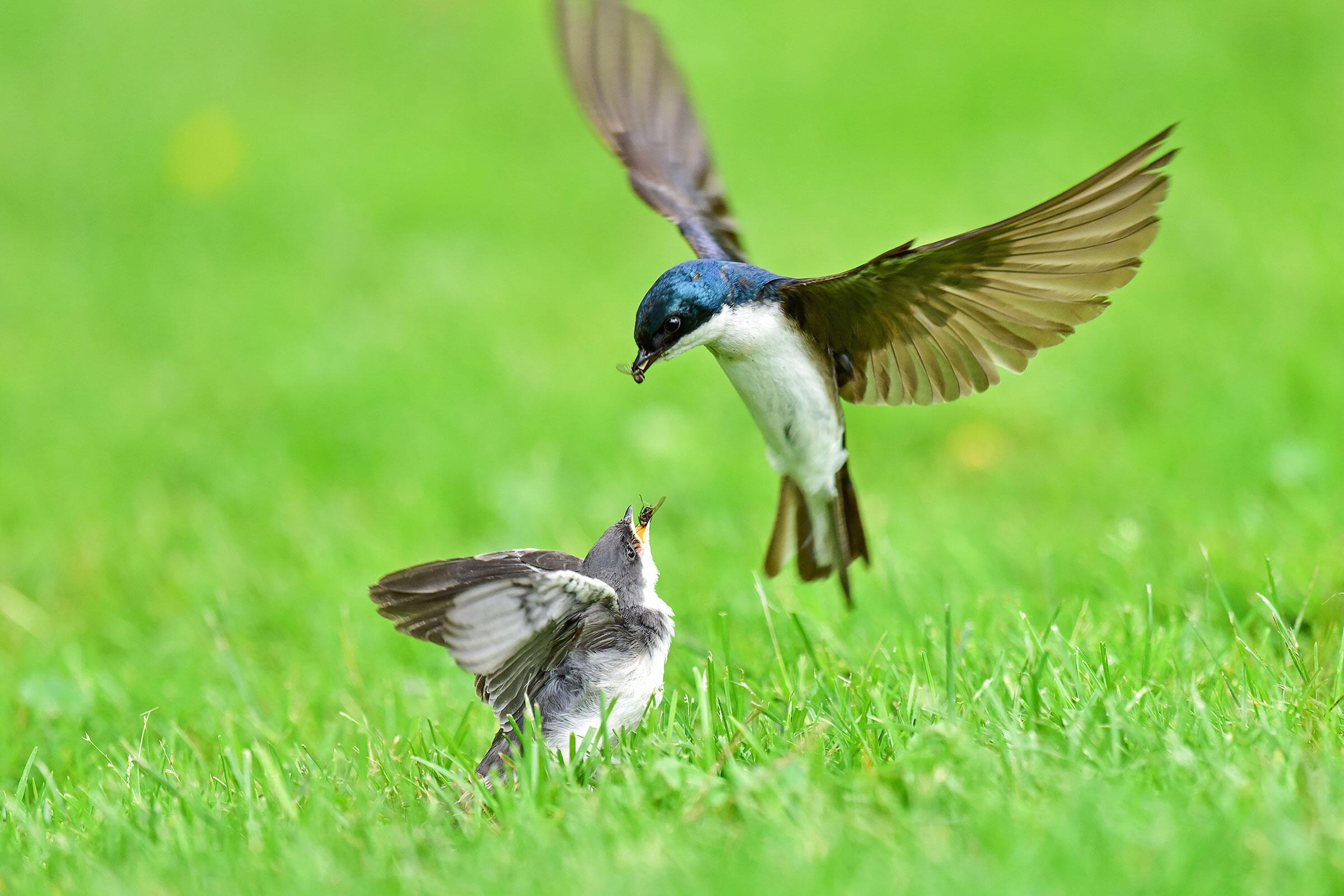 Tree Swallows. Lynn Cleveland/Audubon Photography Awards
