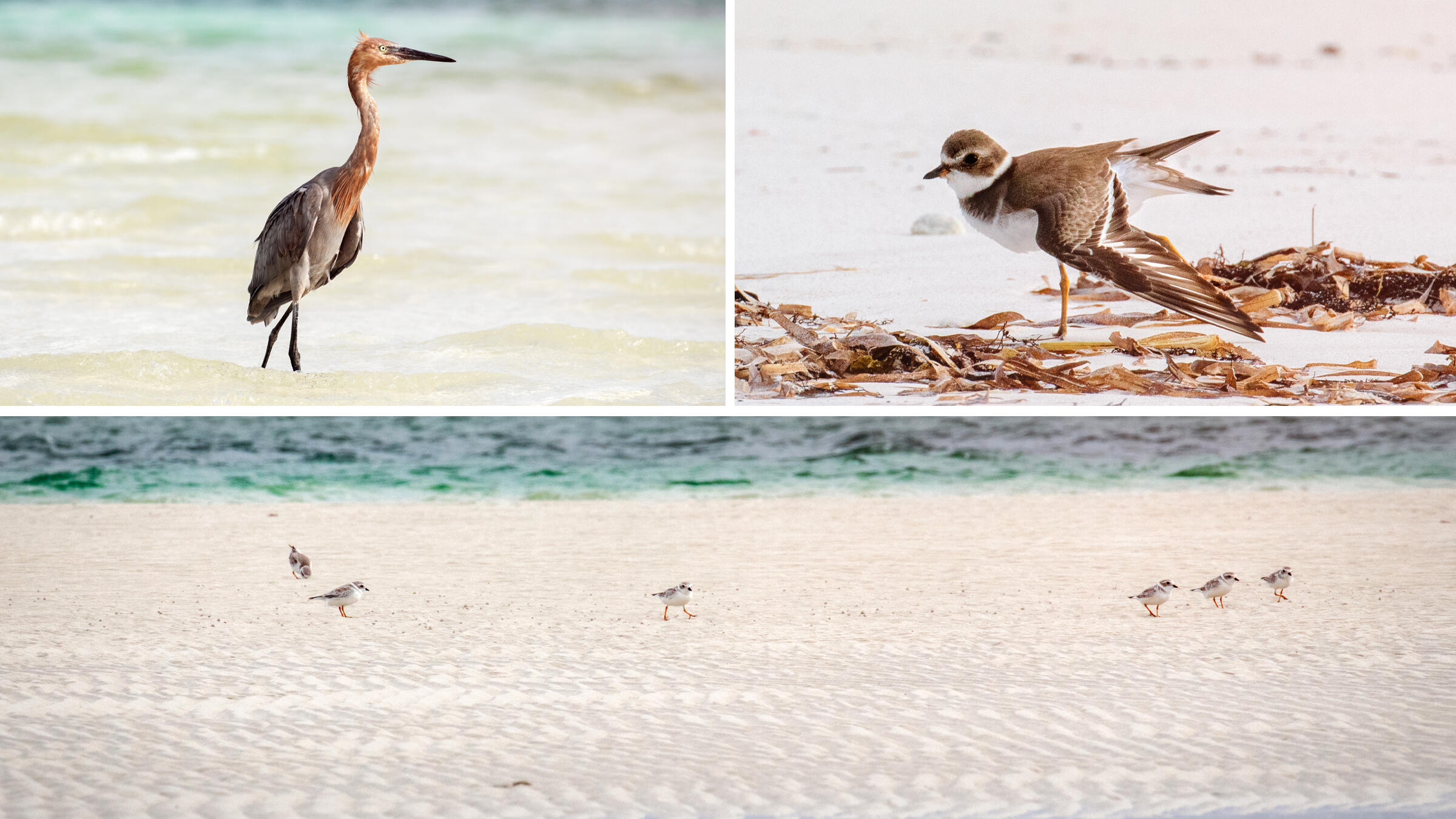 Top Left: Reddish Egret. Top Right: Semipalmated plover. Bottom: Group of Piping Plovers on a tidal flat. Mike Fernandez/Audubon