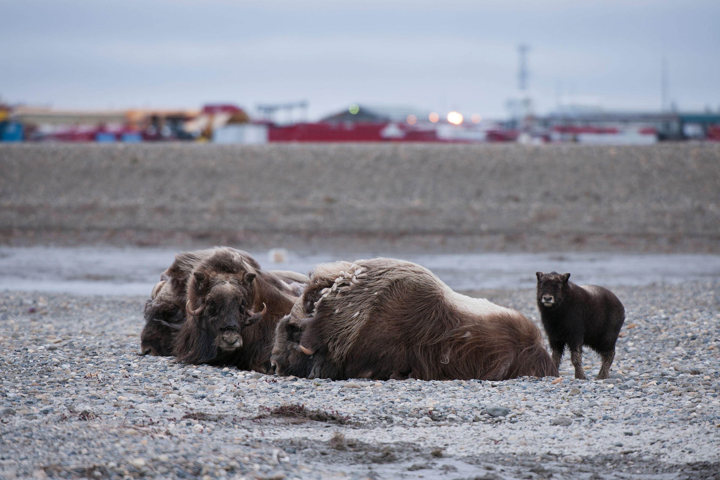 A group of musk oxen rest at the edge of the oil town of Deadhorse at Prudhoe Bay. Oilfields displace large mammals, and at the same time attract predators like arctic and red fox that impact bird populations. Florian Schulz