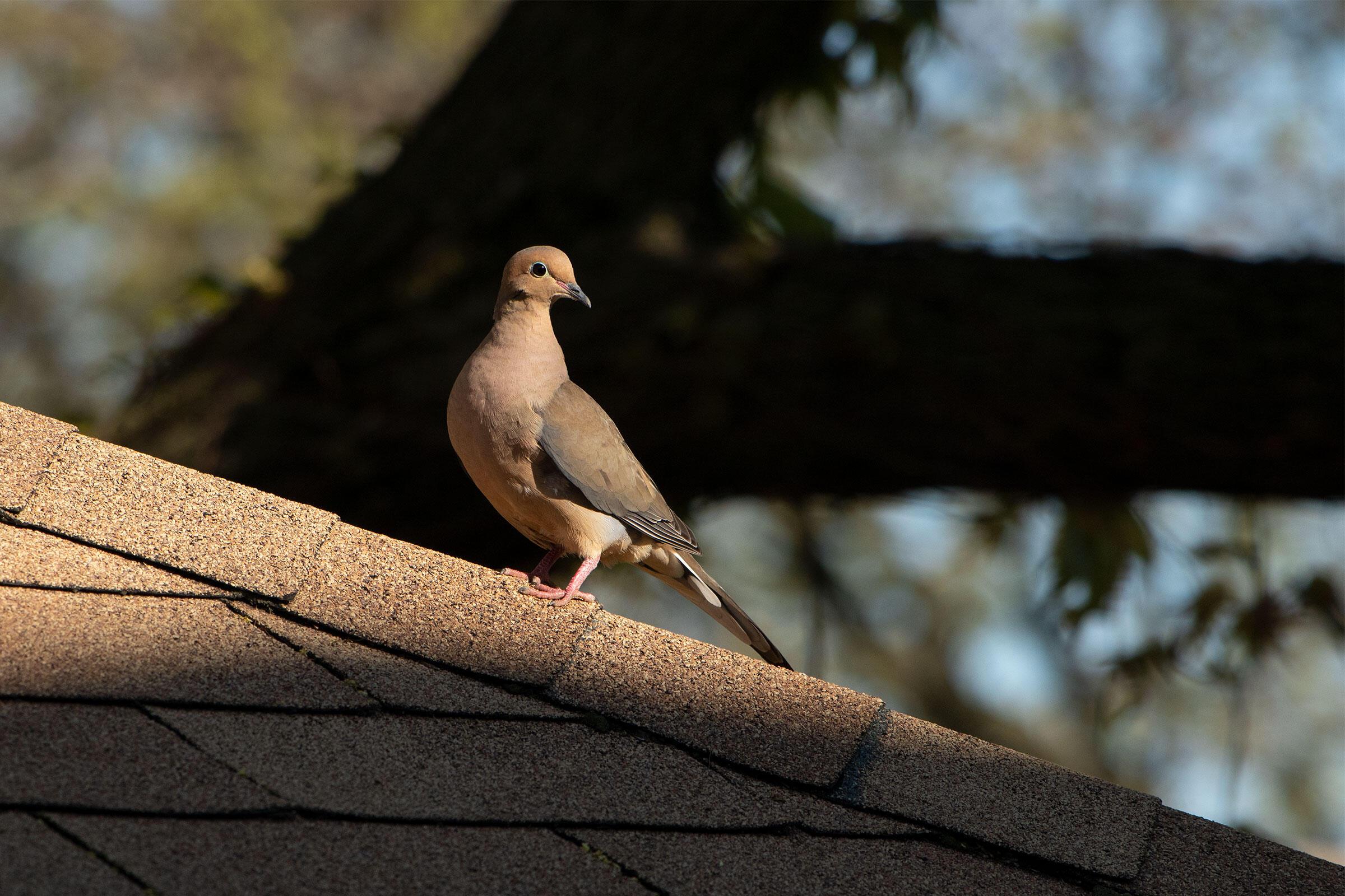 Mourning Dove. Alyssa Bueno, Bronx, NY