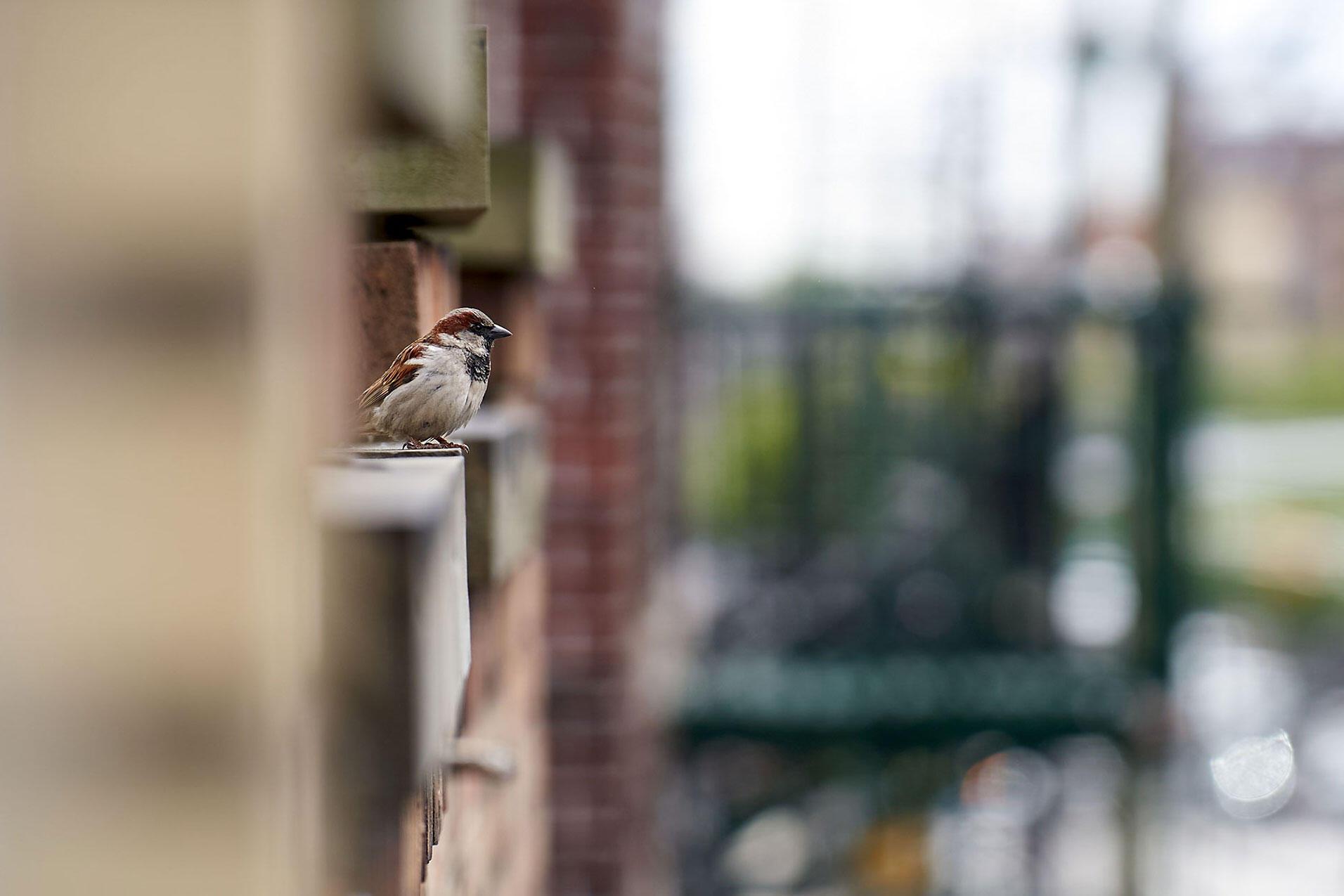 House Sparrow. Amelia Grande, West New York, NJ