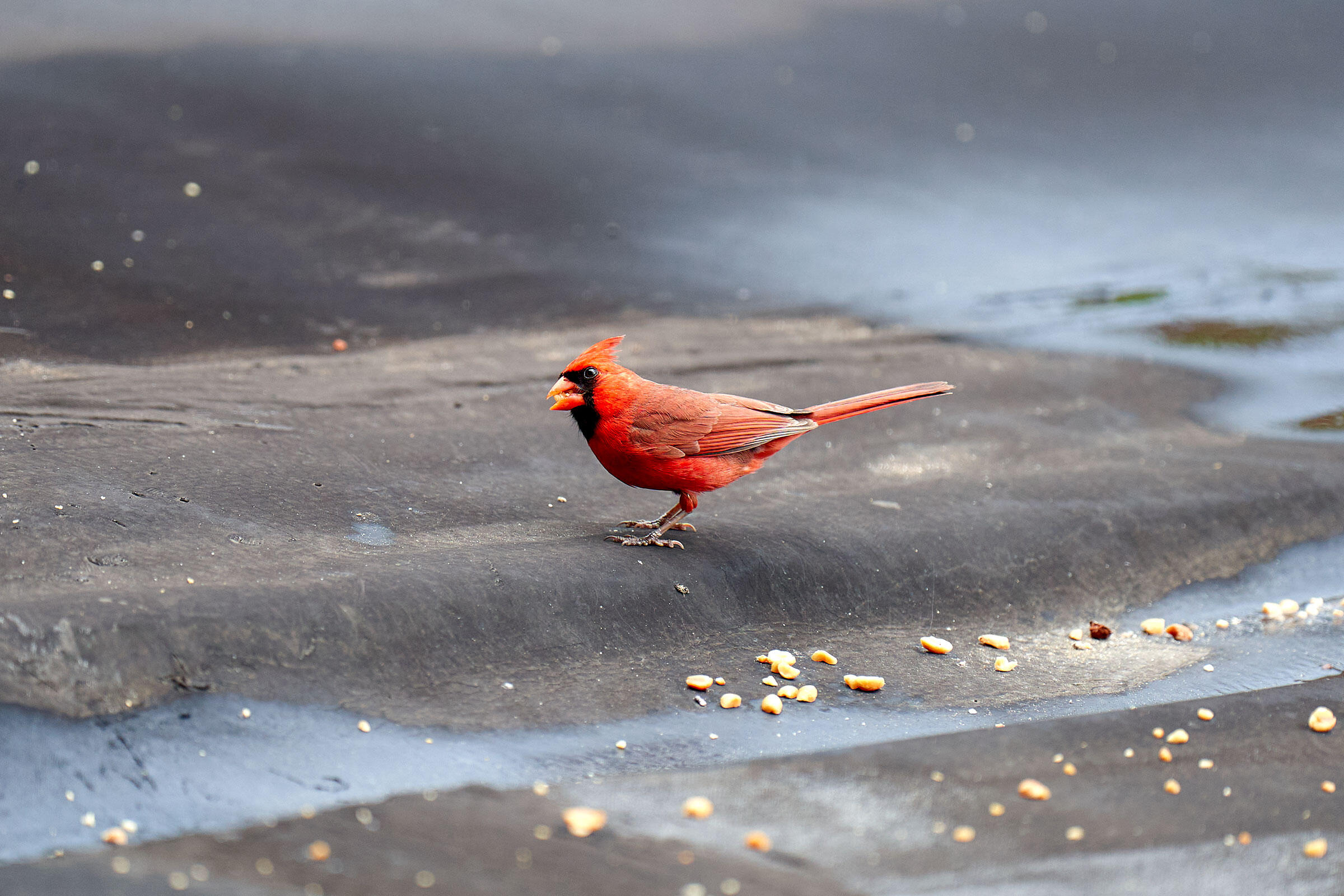 Northern Cardinal. Amelia Grande, West New York, NJ