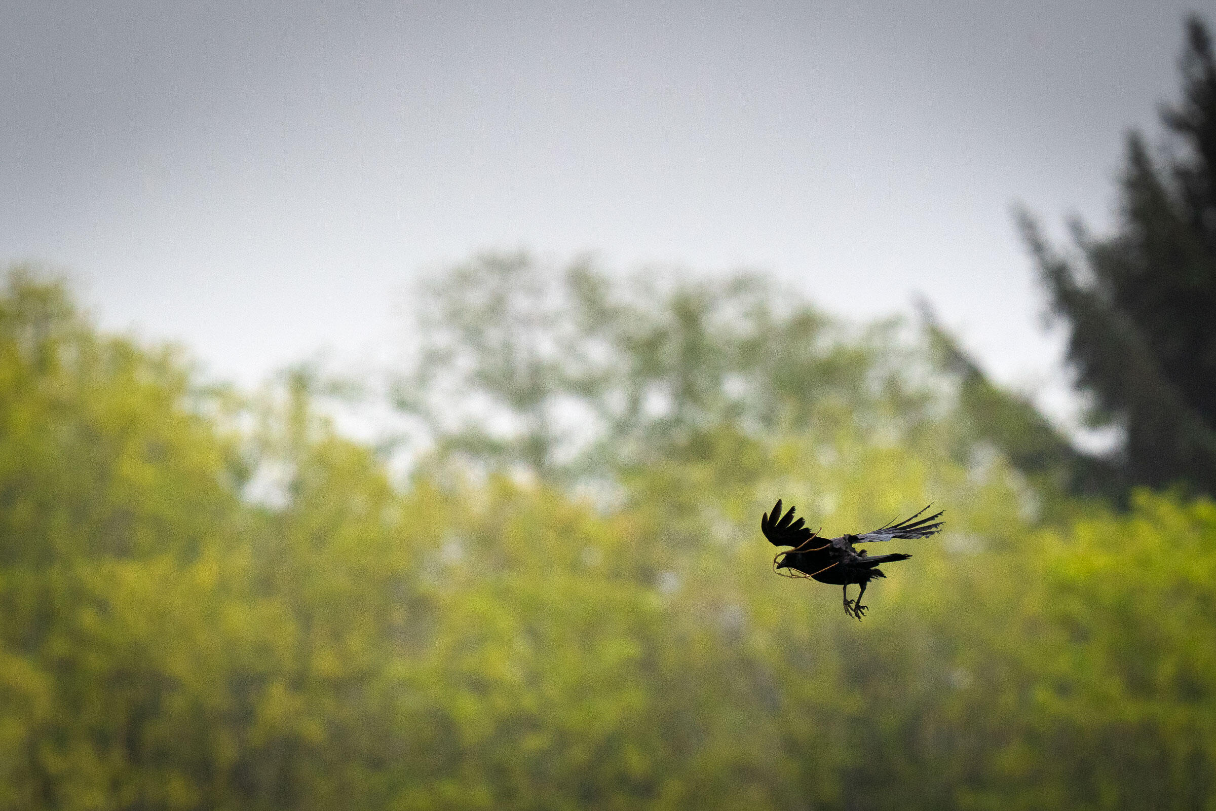 An American Crow carries fresh nesting material back to a tree at my neighbor's house. Morgan Heim
