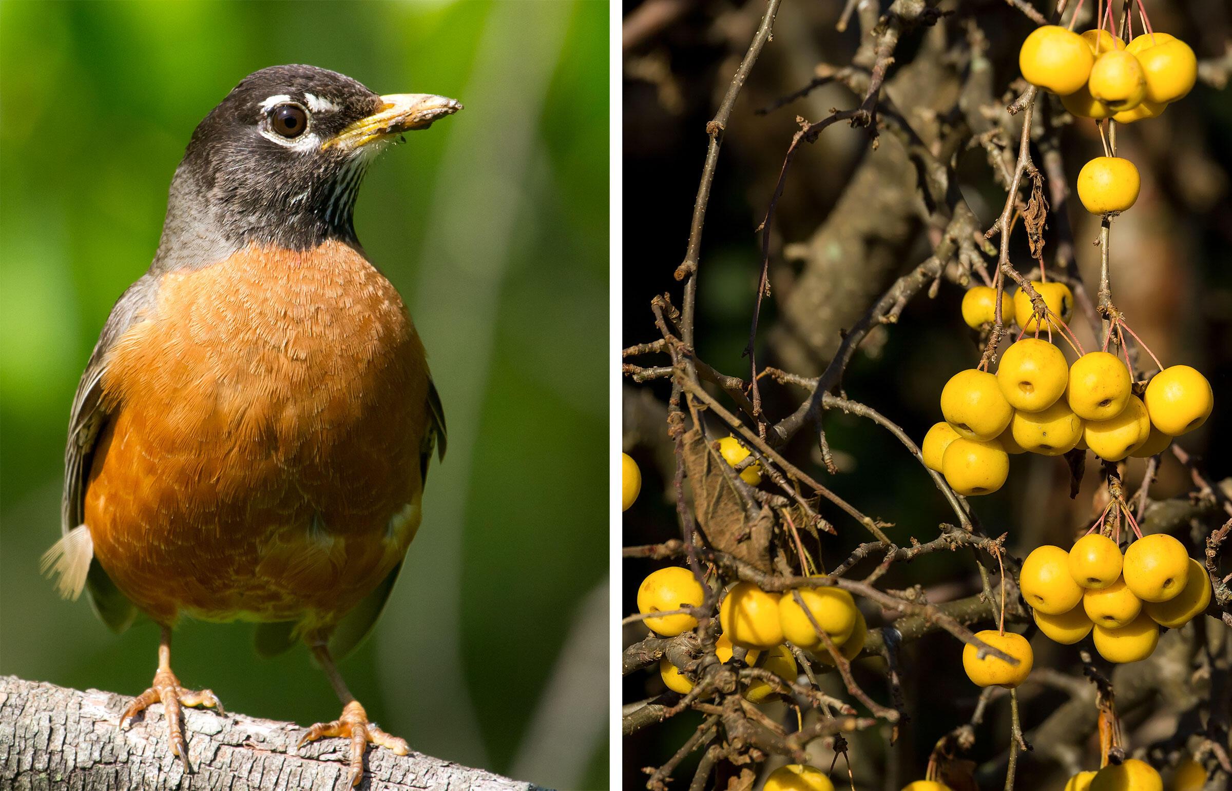 From left: American Robin. Photo: Frode Jacobsen; Crab apple. Photo: artush/Adobe Stock