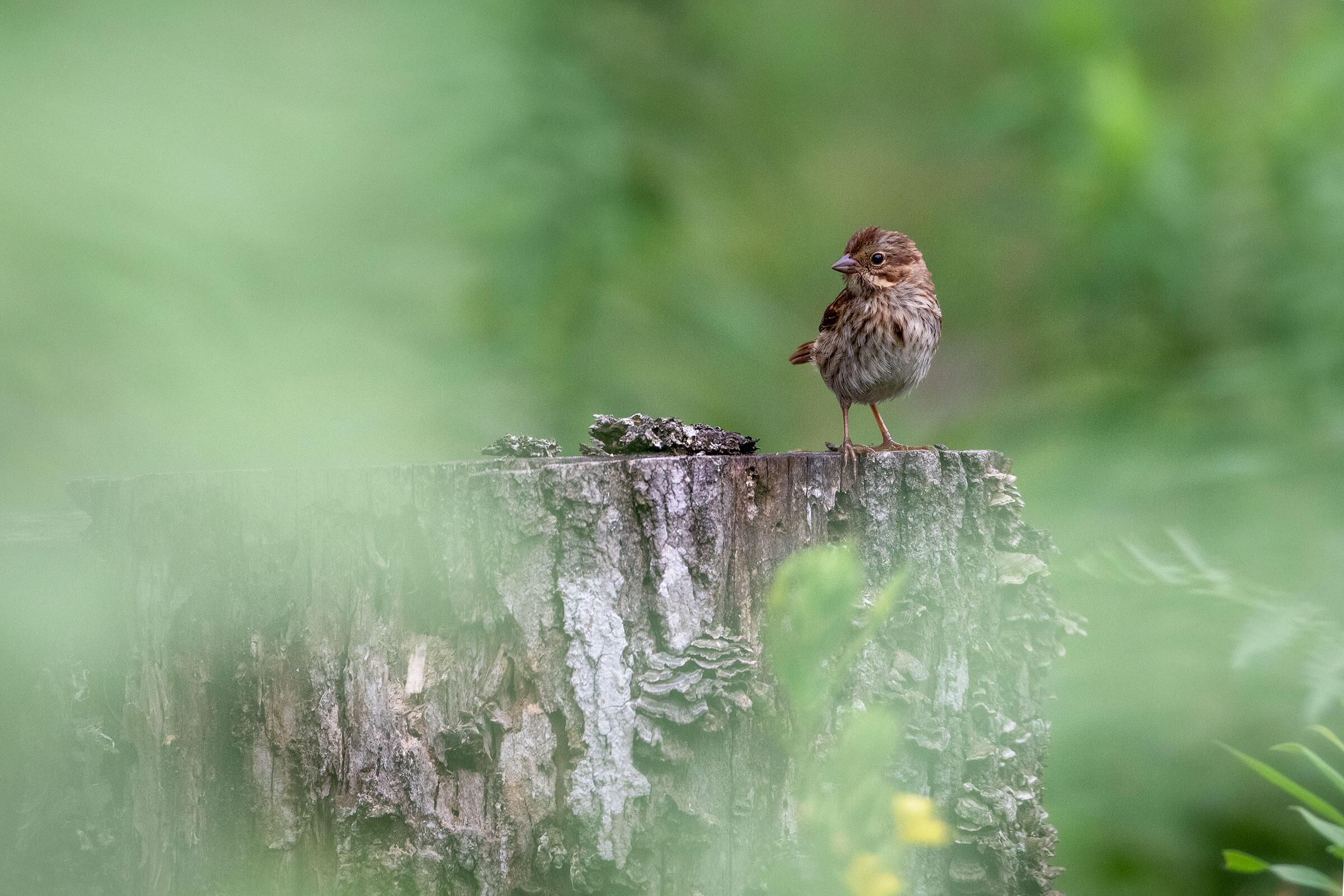 Song Sparrow. Amy Kay, North Frontenac, Ontario, Canada