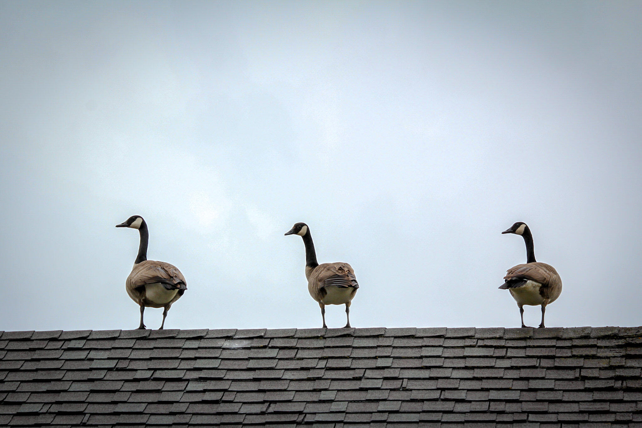 Canada Geese. Anne-Marie Wiggins, Caledon East, Ontario, Canada