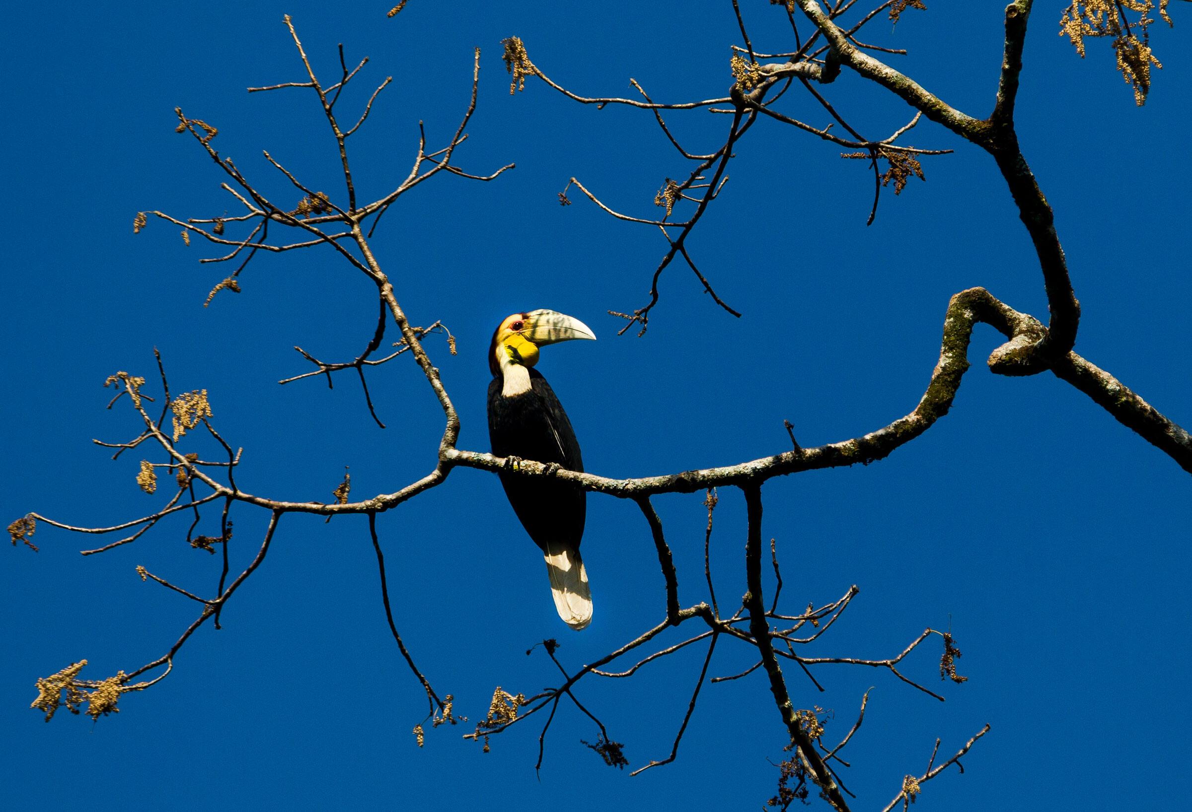 Wreathed Hornbills pictured in the Leuser Ecosysetm. Paul Hilton