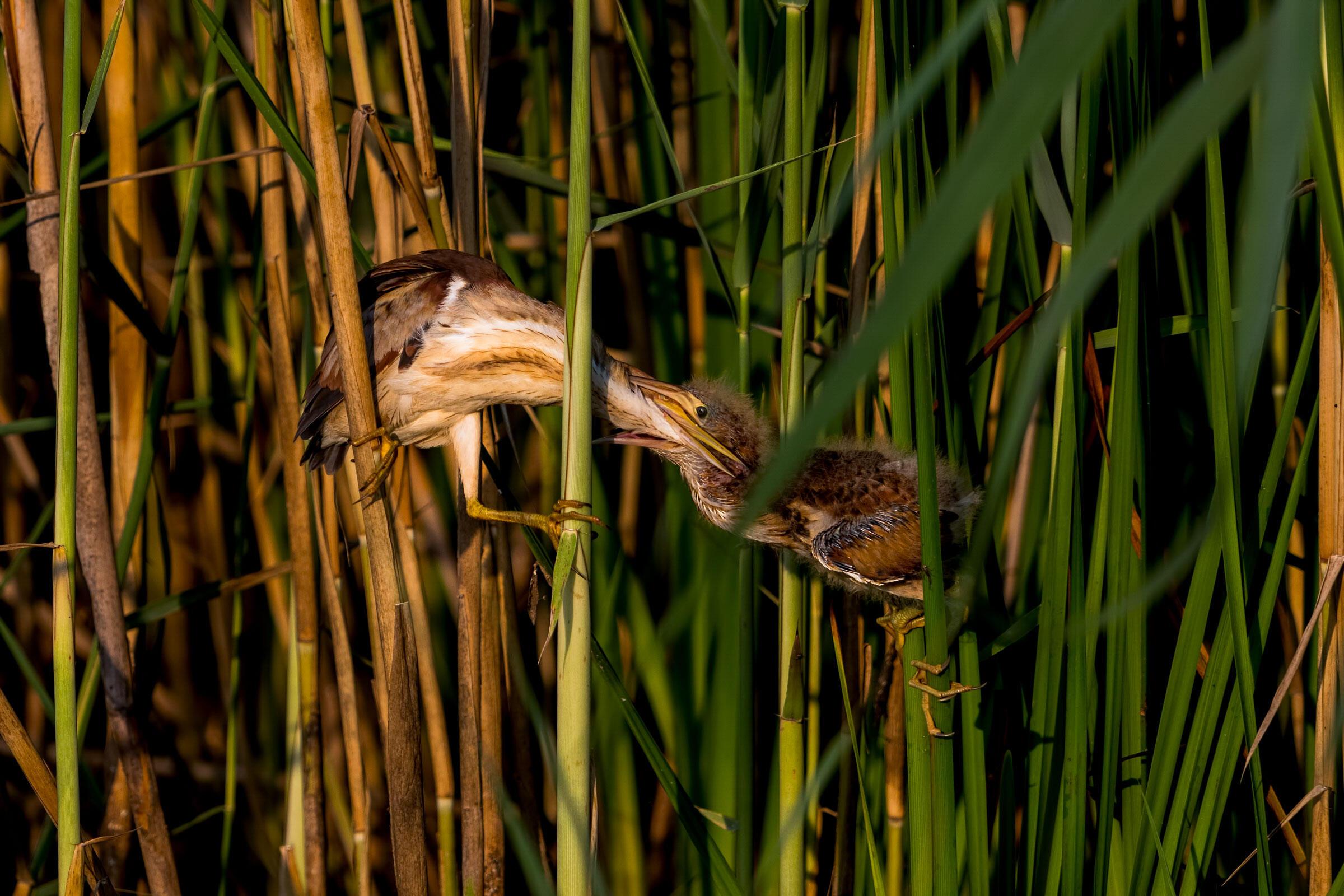 Least Bitterns. Khurram Khan/Audubon Photography Awards