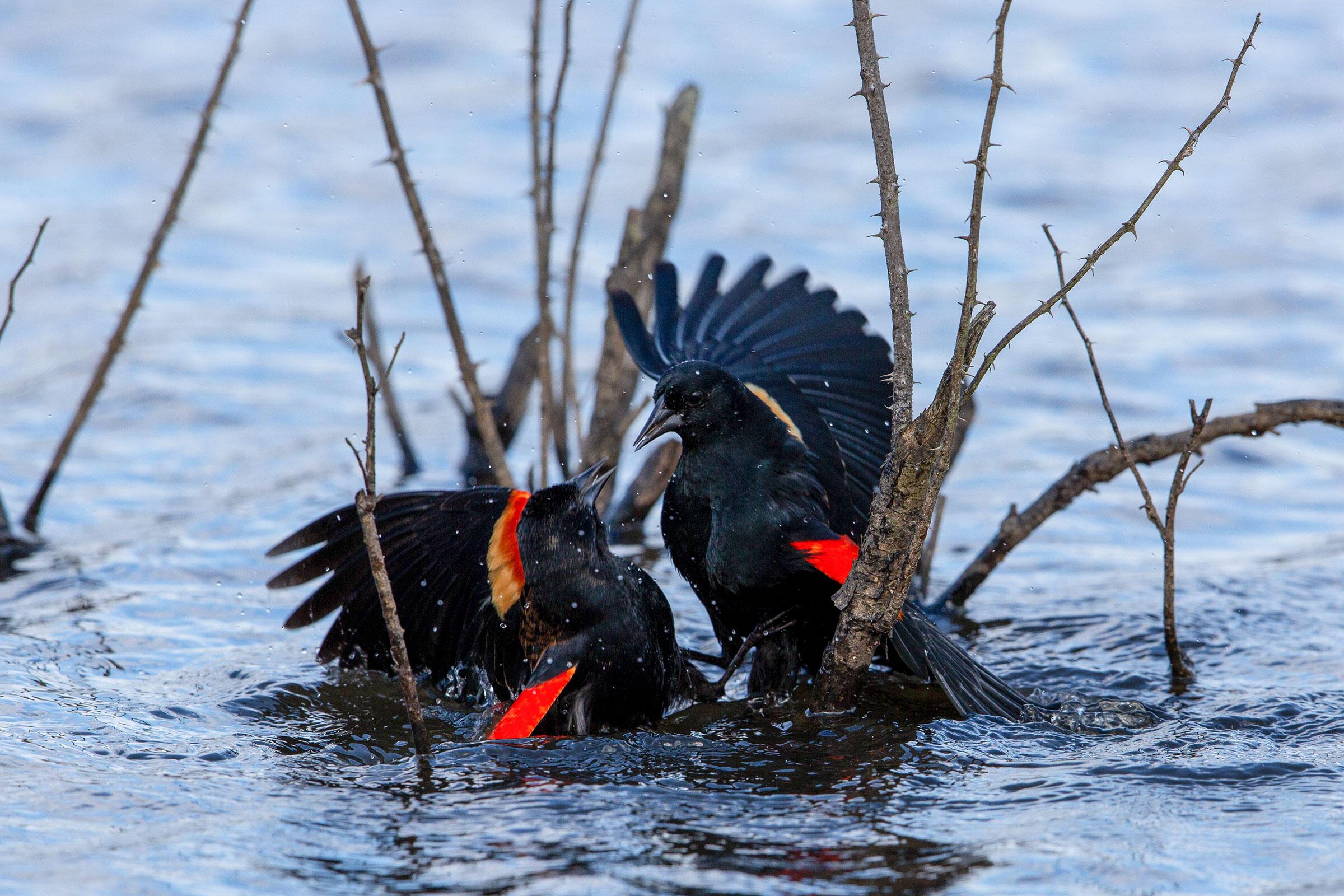Red-winged Blackbirds. Gary Robinette/Audubon Photography Awards
