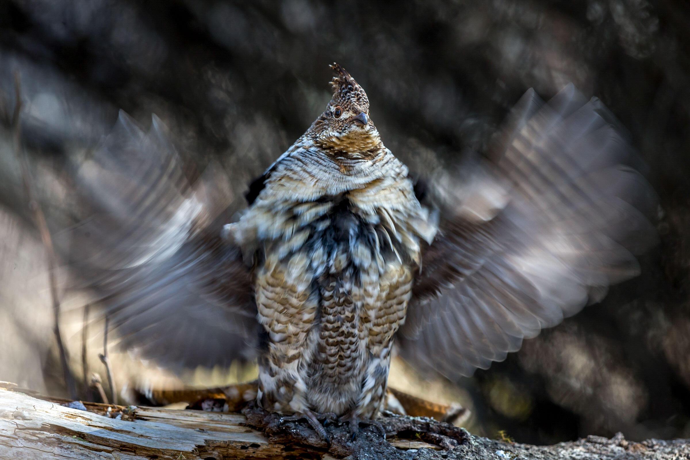 Ruffed Grouse. Brent Cizek/Audubon Photography Awards