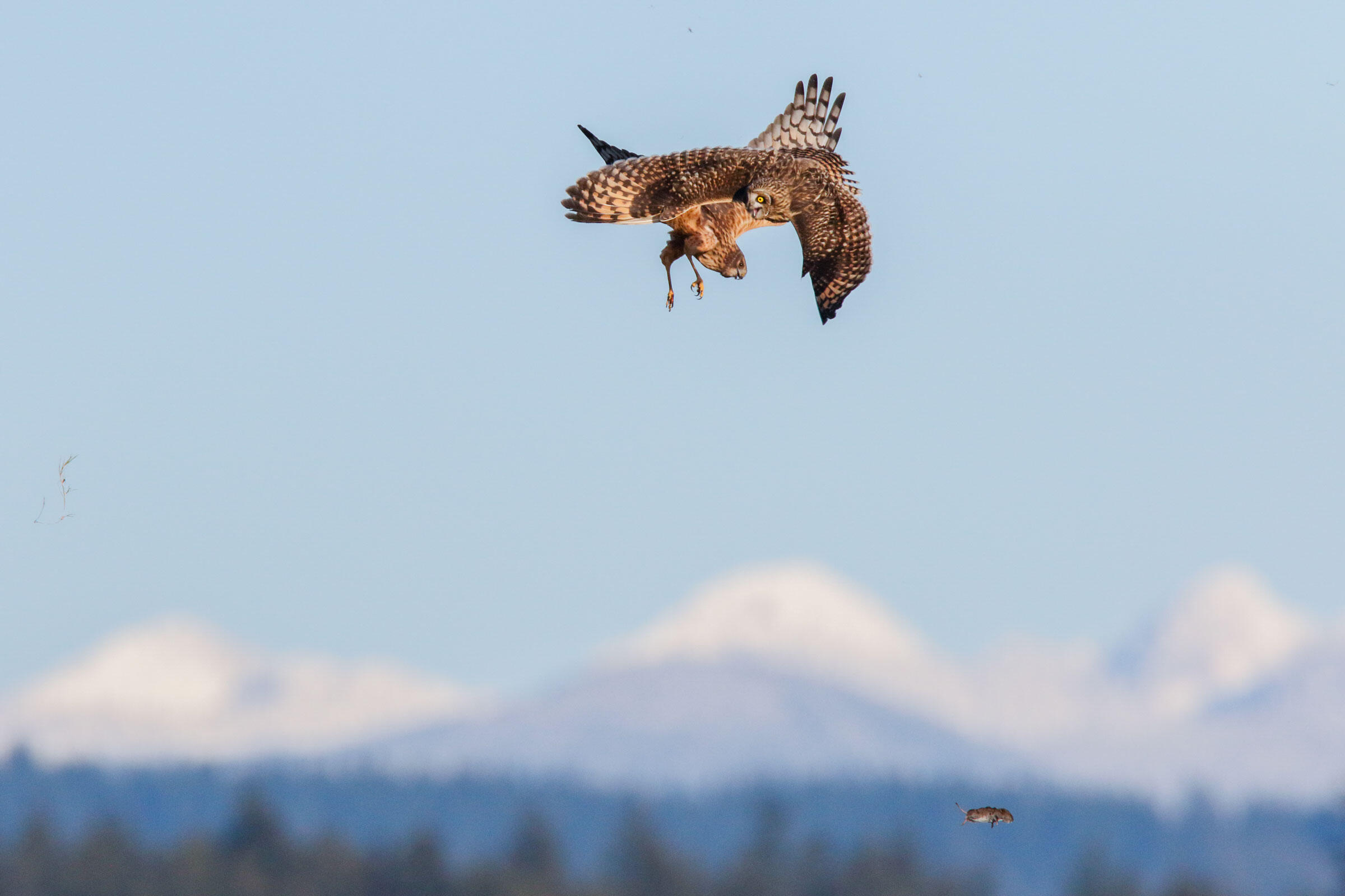 Short-eared Owl and Northern Harrier. Scott Carpenter/Audubon Photography Awards