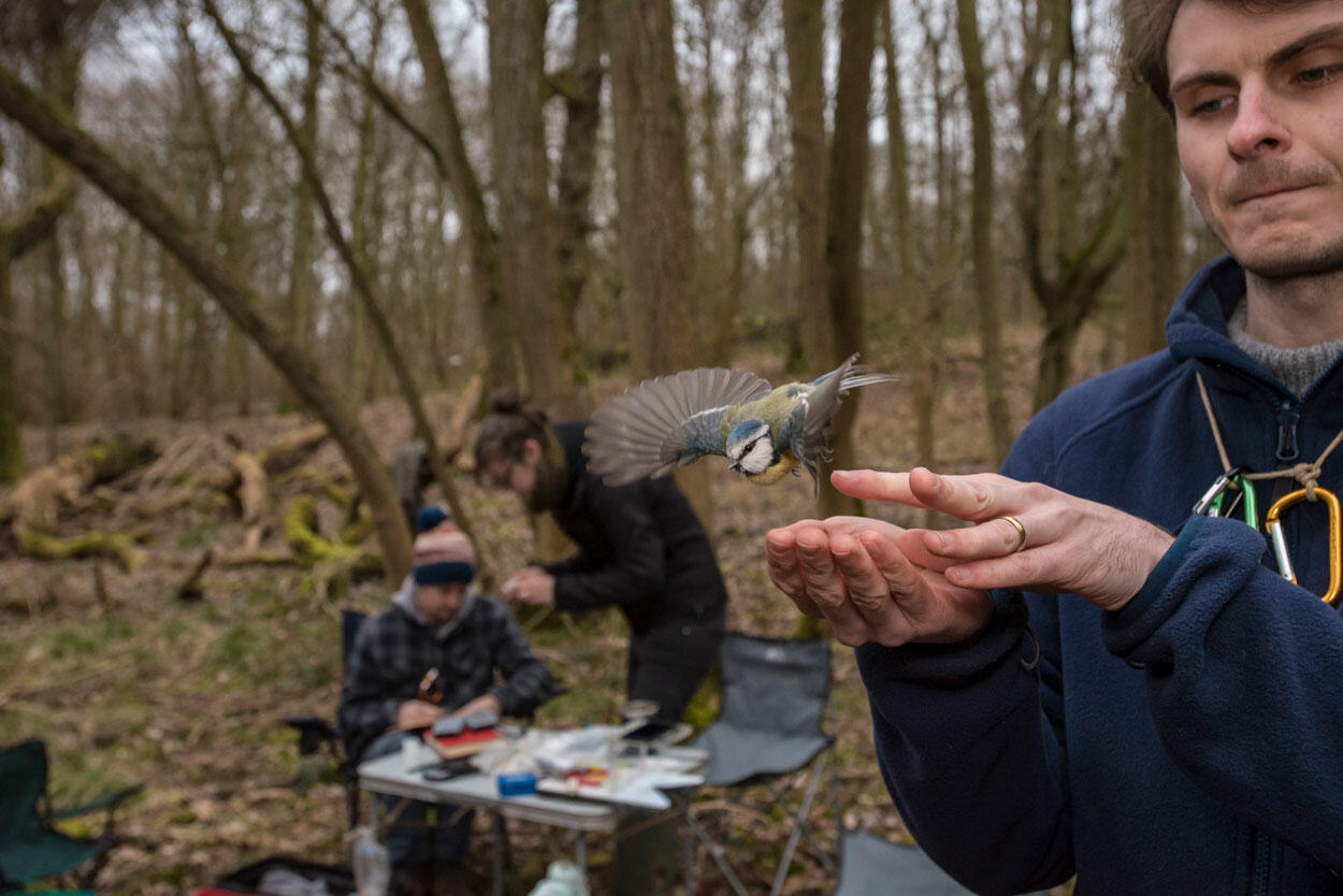 A Blue Tit is released by volunteer bander and student Ashley Sendell-Price. Researchers from the Wytham Tit Project record data in the background. Sam Hobson
