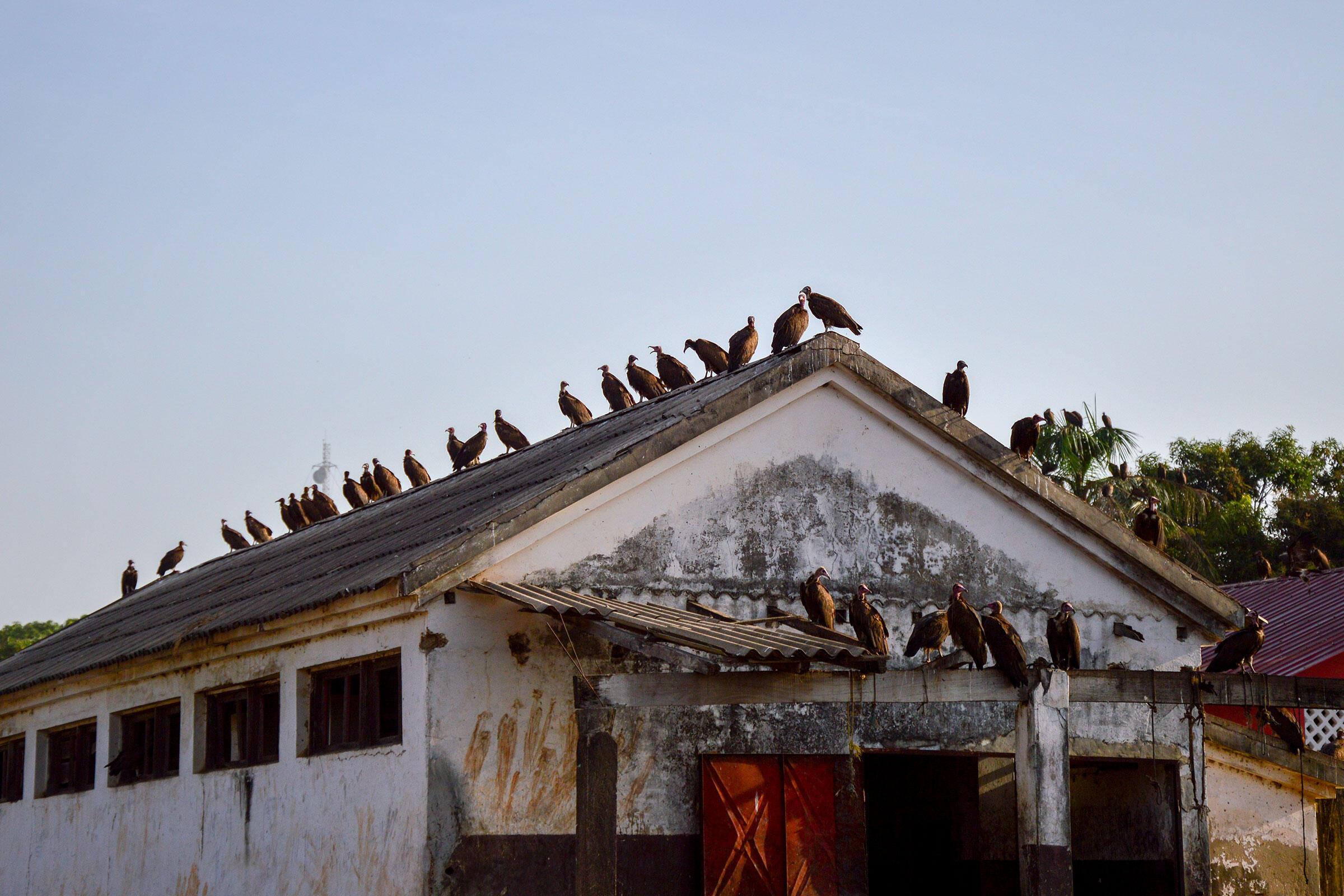 Hooded Vultures flock in Guinea-Bissau. Photo: Ana Coelho