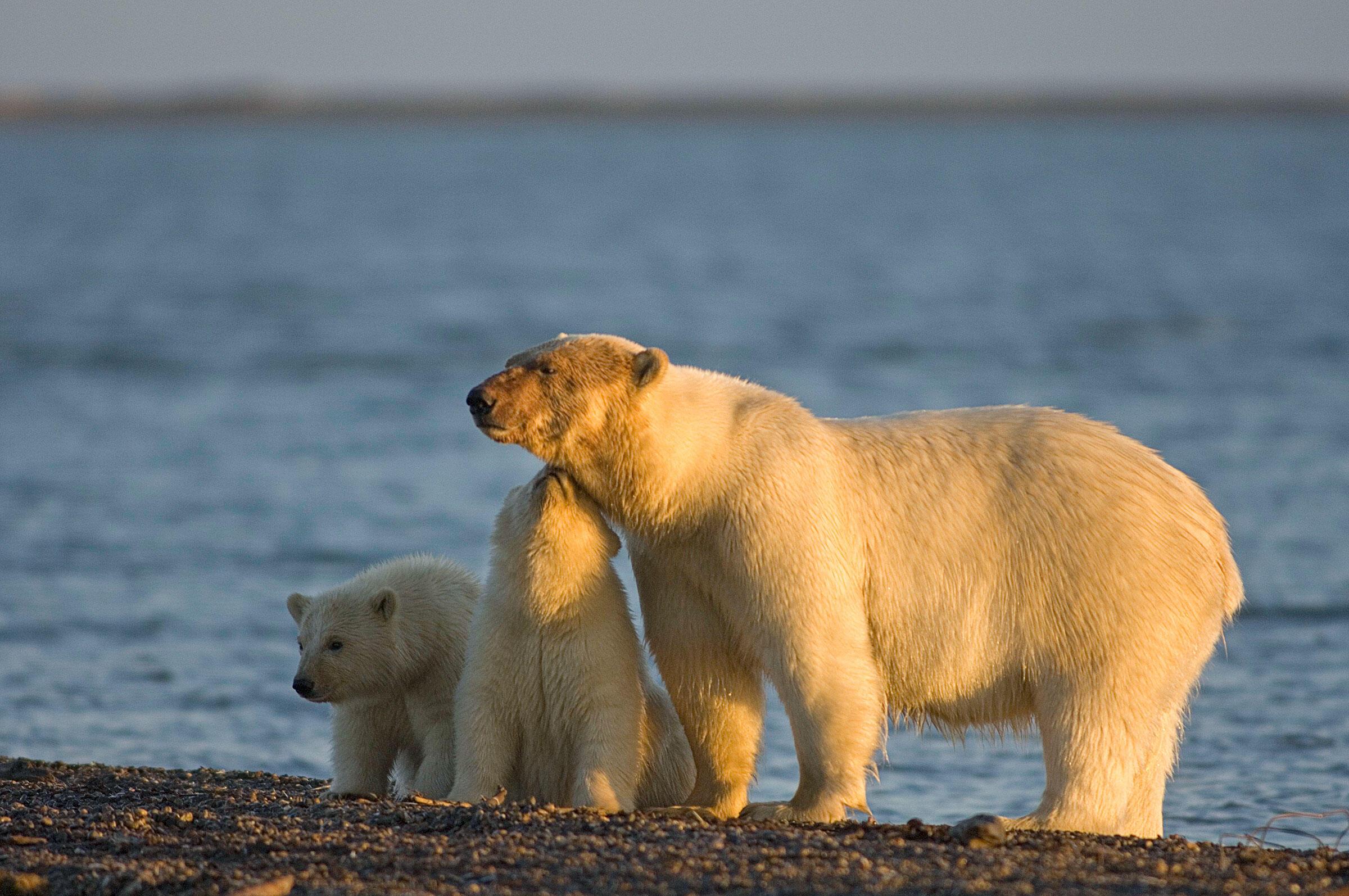Energy development in the Arctic Refuge will likely harm polar bears and other wildlife. Steven J. Kazlowski/Alamy