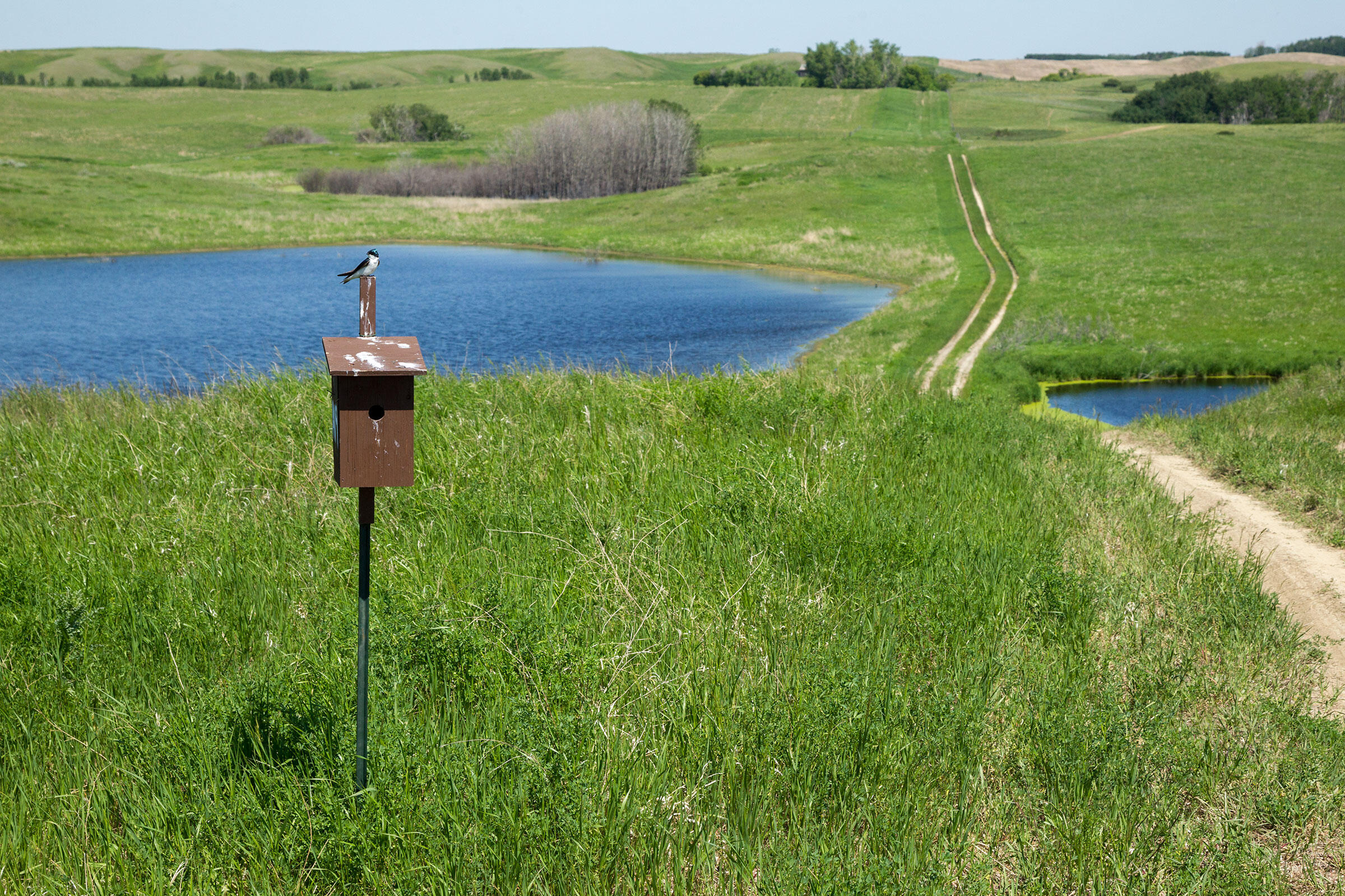 Morrissey's team monitors more than 150 nest boxes per year. Many of them are adjacent to farm fields, but a century ago all of southern Saskatchewan was part of the largest grassland on Earth. Connor Stefanison