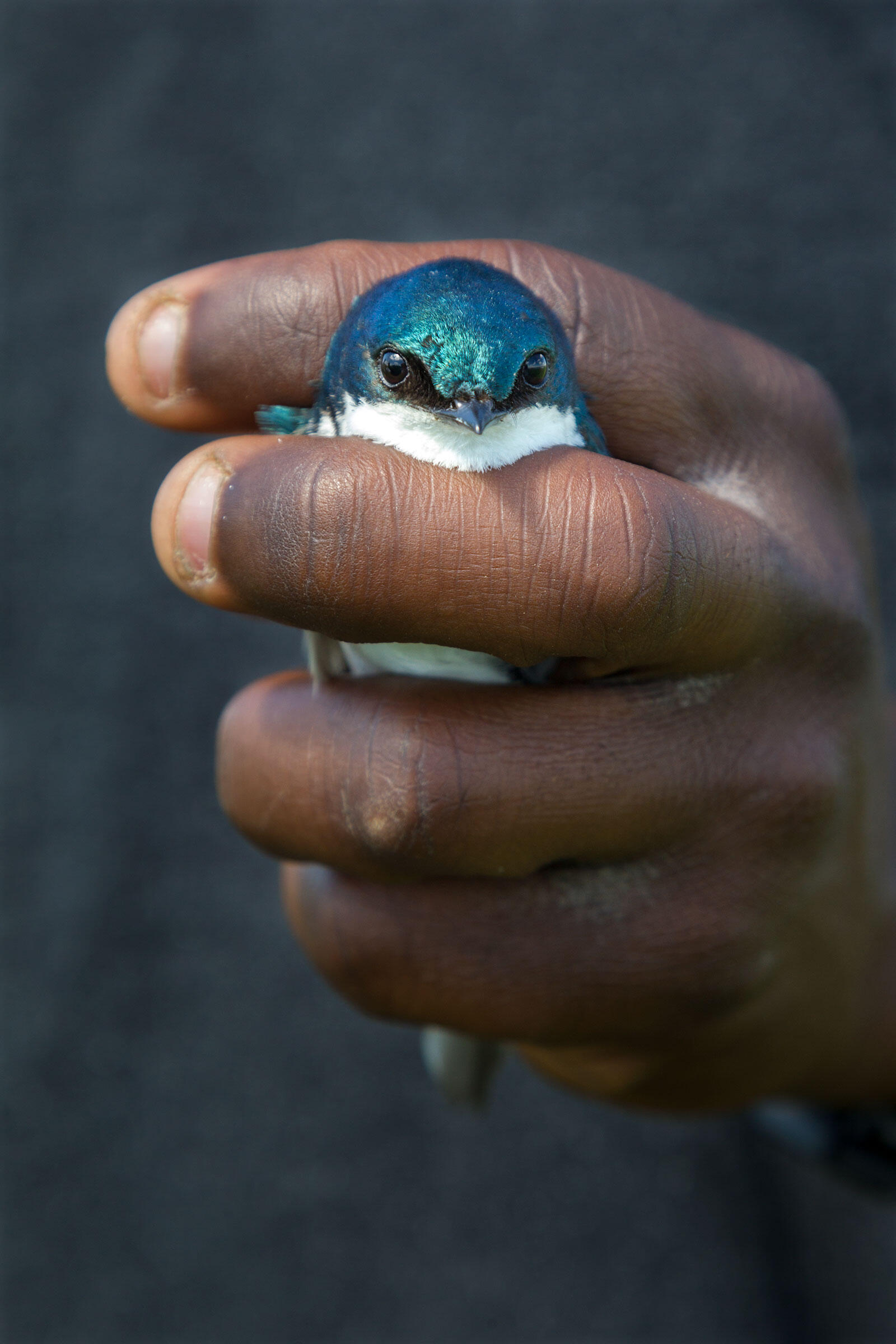 Bagonluri holds a Tree Swallow as he prepares to measure and band it. Swallows that live near industrial-scale farms, the team has found, have much less body fat than those that live in more natural grassy areas. Connor Stefanison