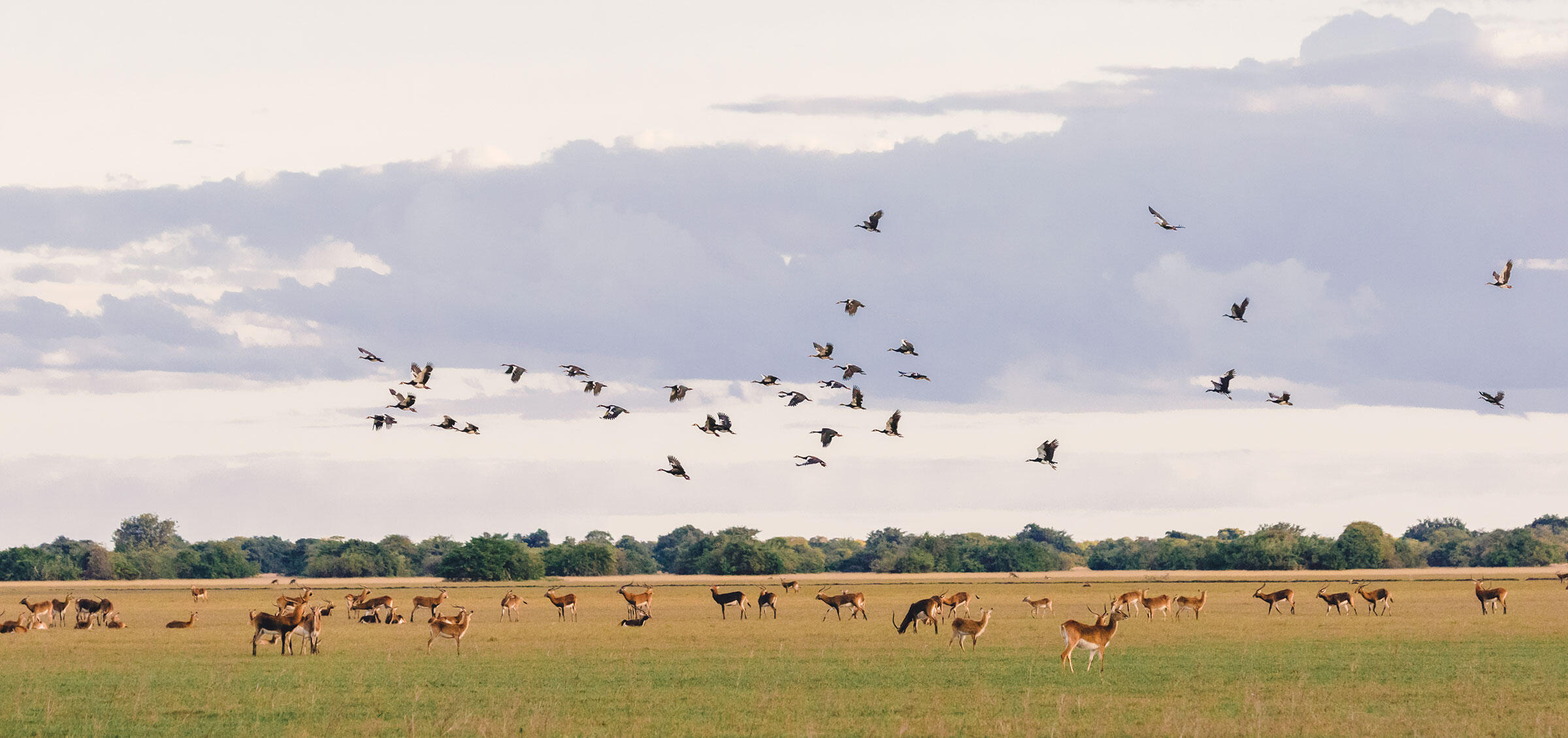 Spur-winged Geese and Lechwe in the Bangweulu Wetlands. Mana Meadows/African Parks