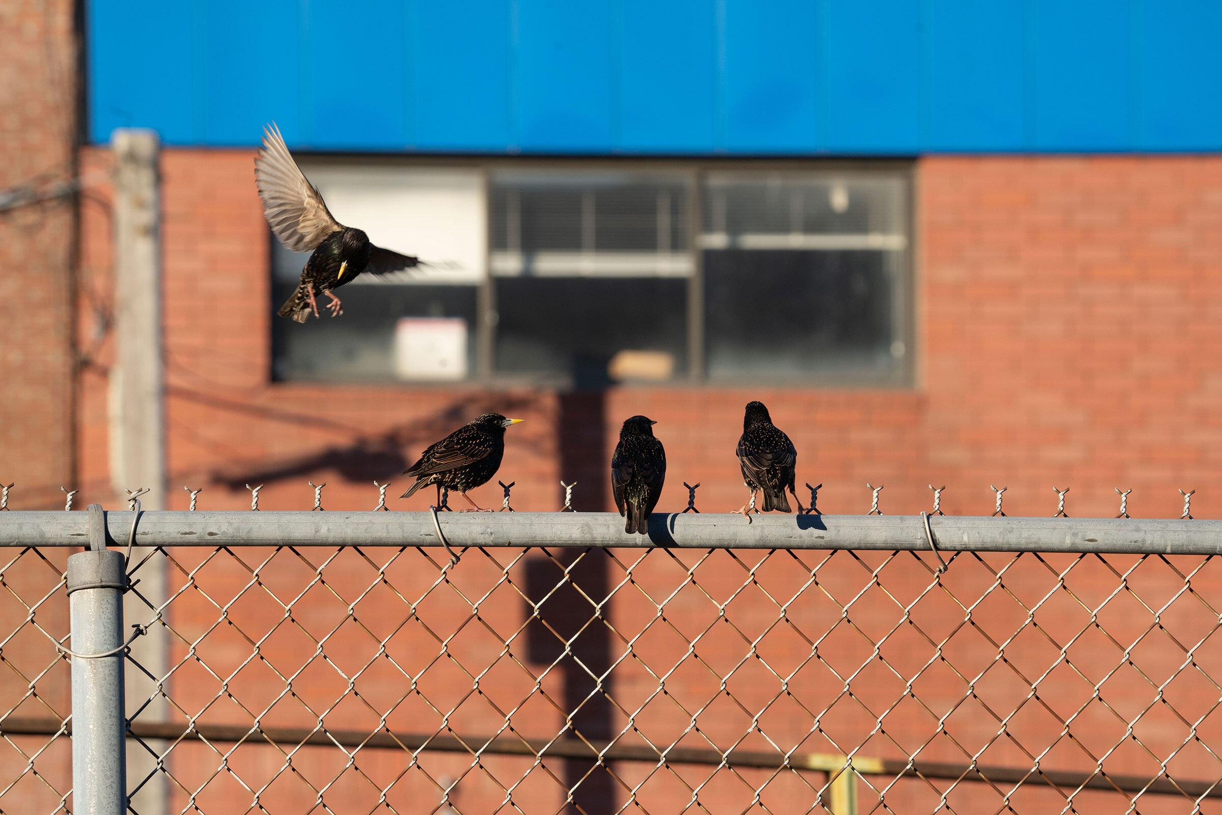 European Starlings. George McKenzie Jr.