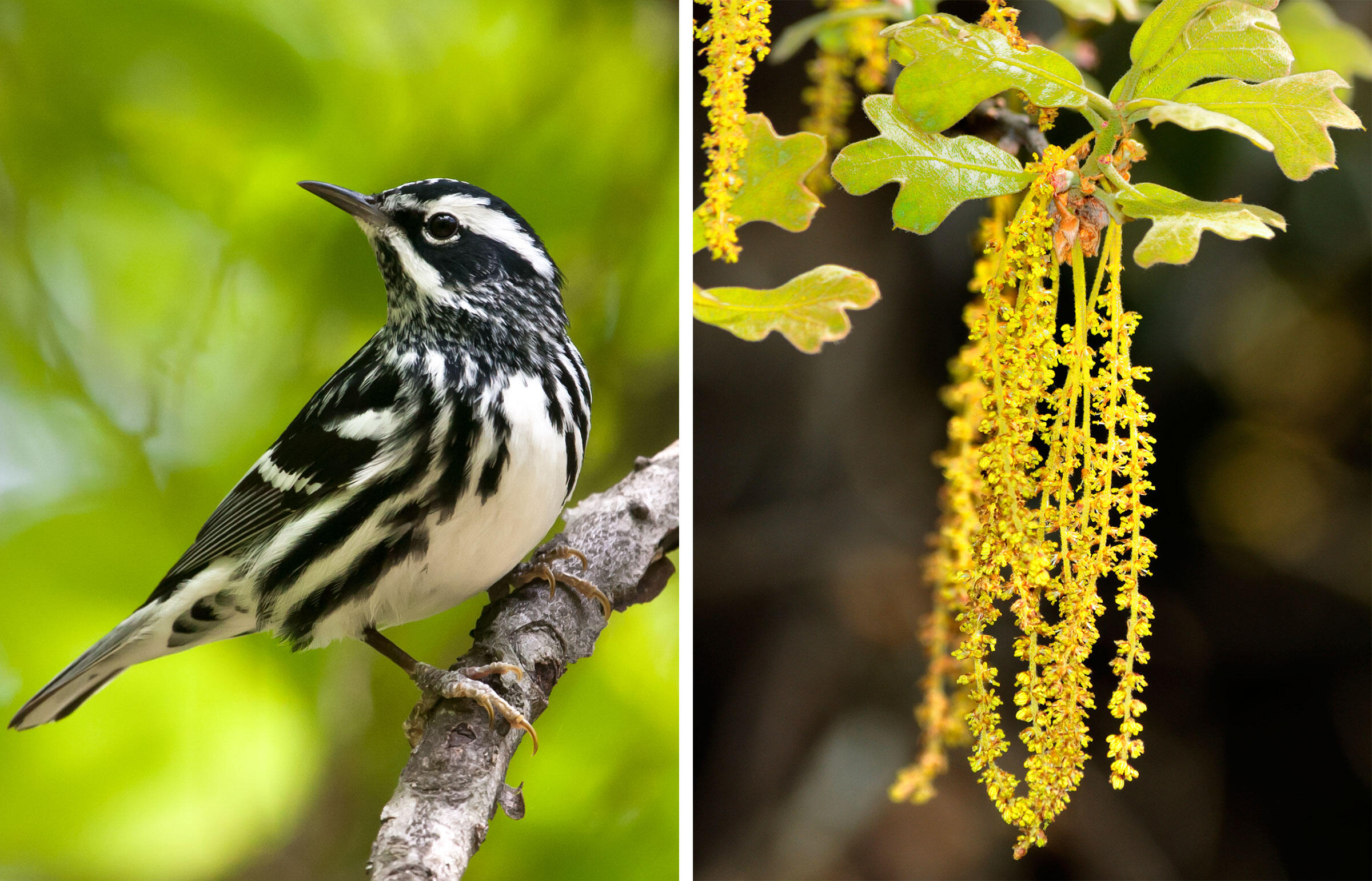 From left: Black-and-white Warbler. Photo: Frode Jacobsen; Oak catkins. Photo: BA LaRue/Alamy