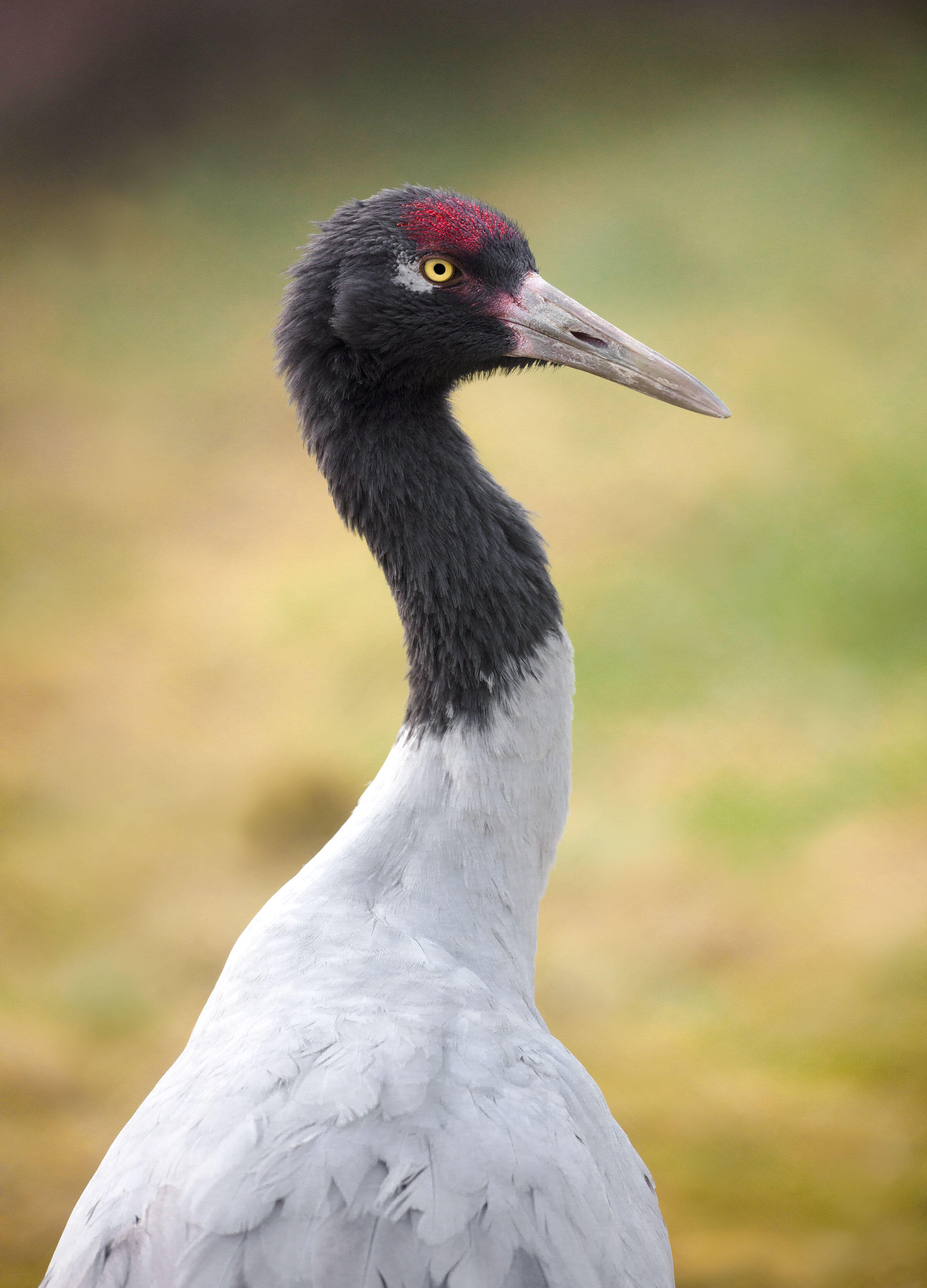 Black-necked Cranes may be large and vibrant, but they went unnoticed for a long time; ornithologists didn't discover the species until 1876 because they nest at high elevations. Around 5,000 birds survive today. Ted Thousand