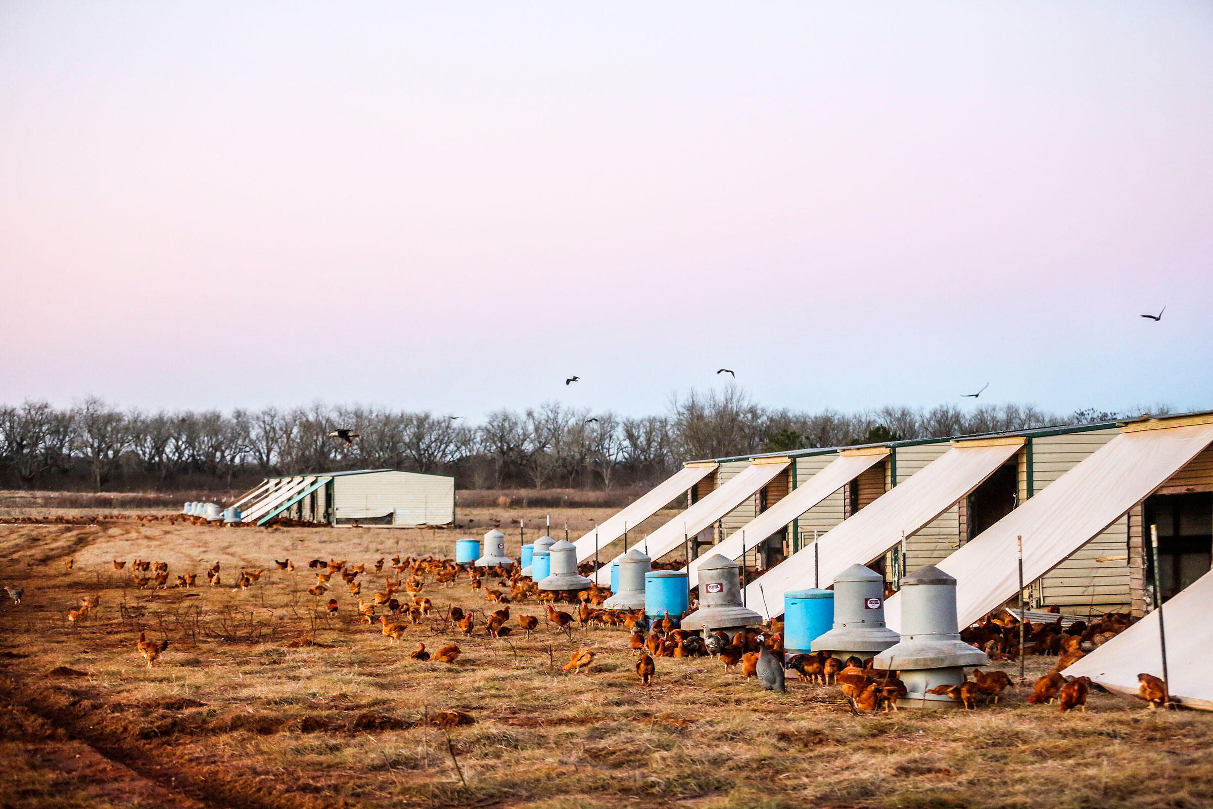 Bald Eagles probably don't consume more than one chicken a day, though they may kill others that aren't eaten. The raptors circle above the portable chicken houses, where they are guaranteed a fresh meal. Bryan Meltz