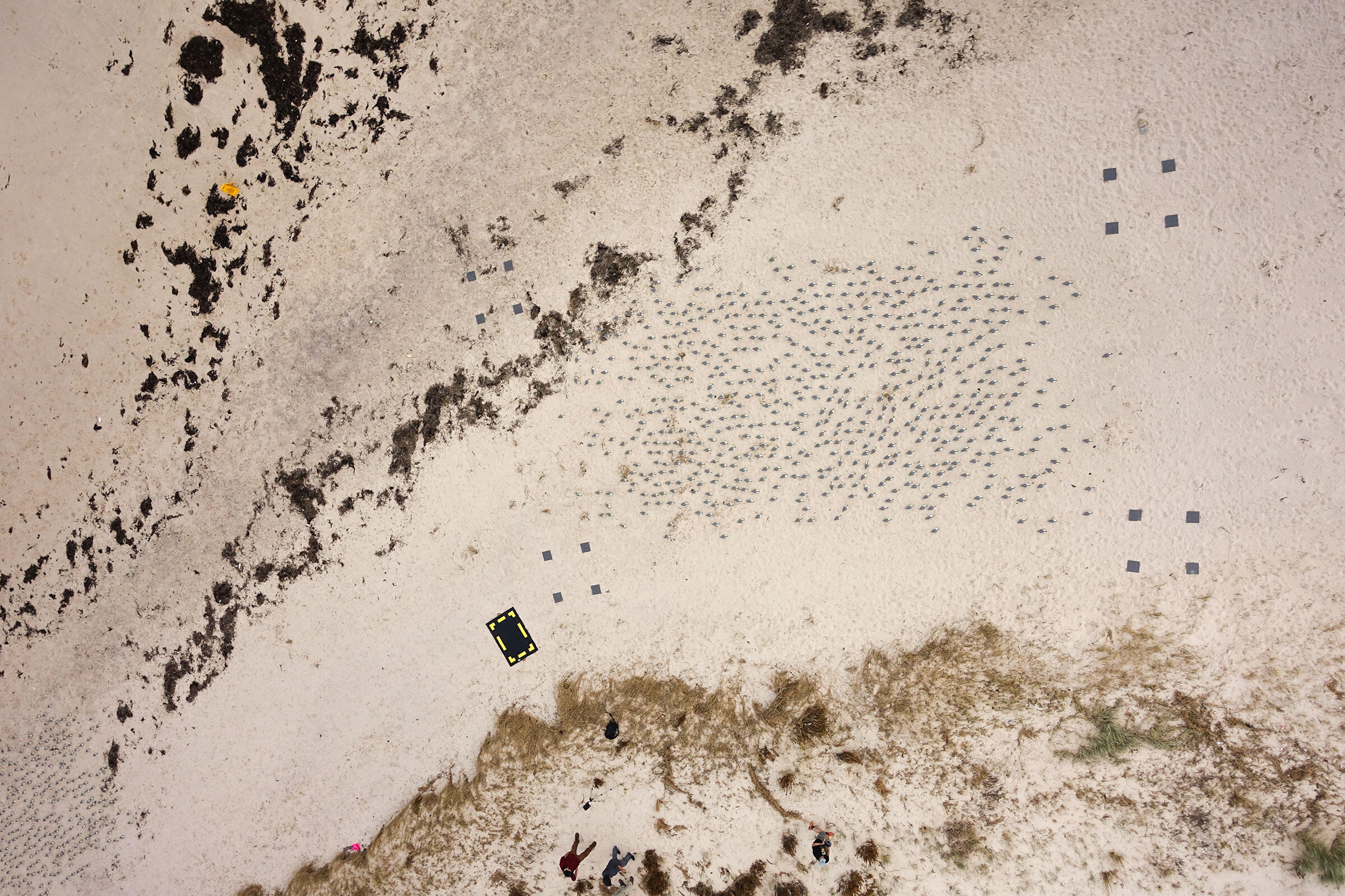 A drone's-eye view of one of Hodgson's decoy colonies, ready to be counted. Jarrod Hodgson