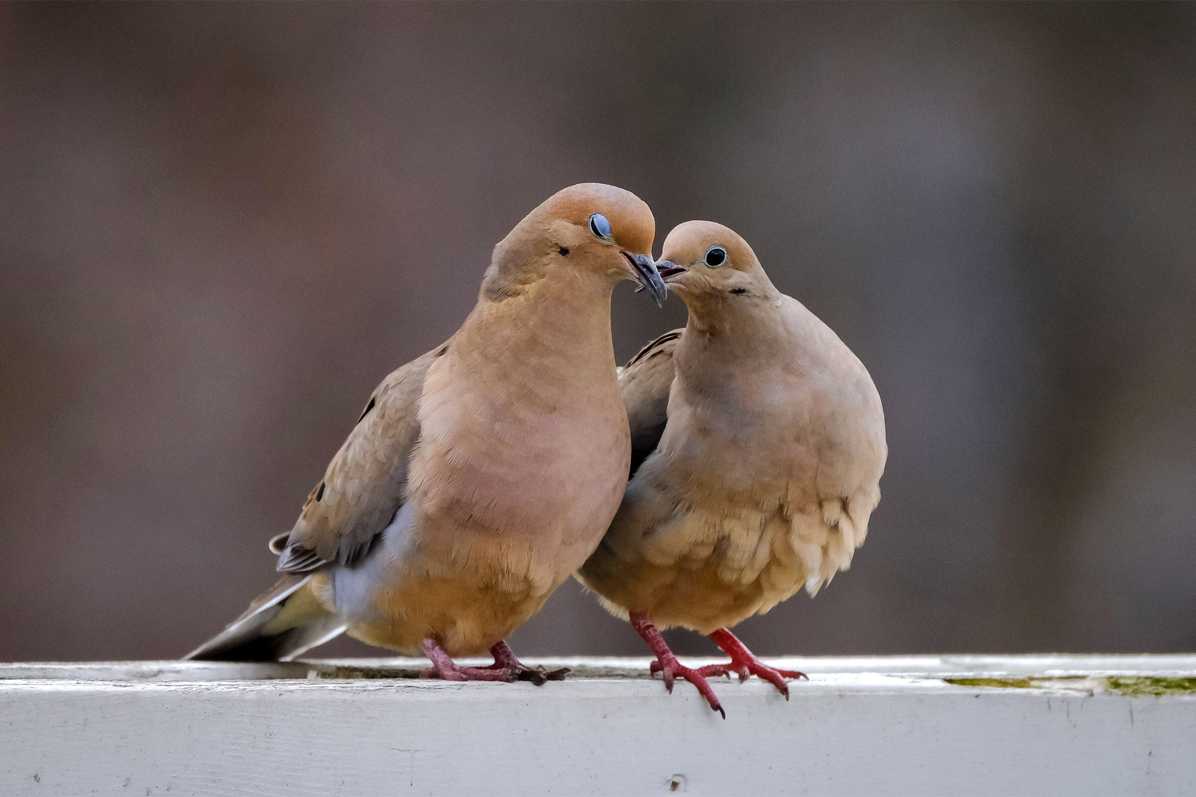 Mourning Doves. Christine Rice, Ontario, Canada