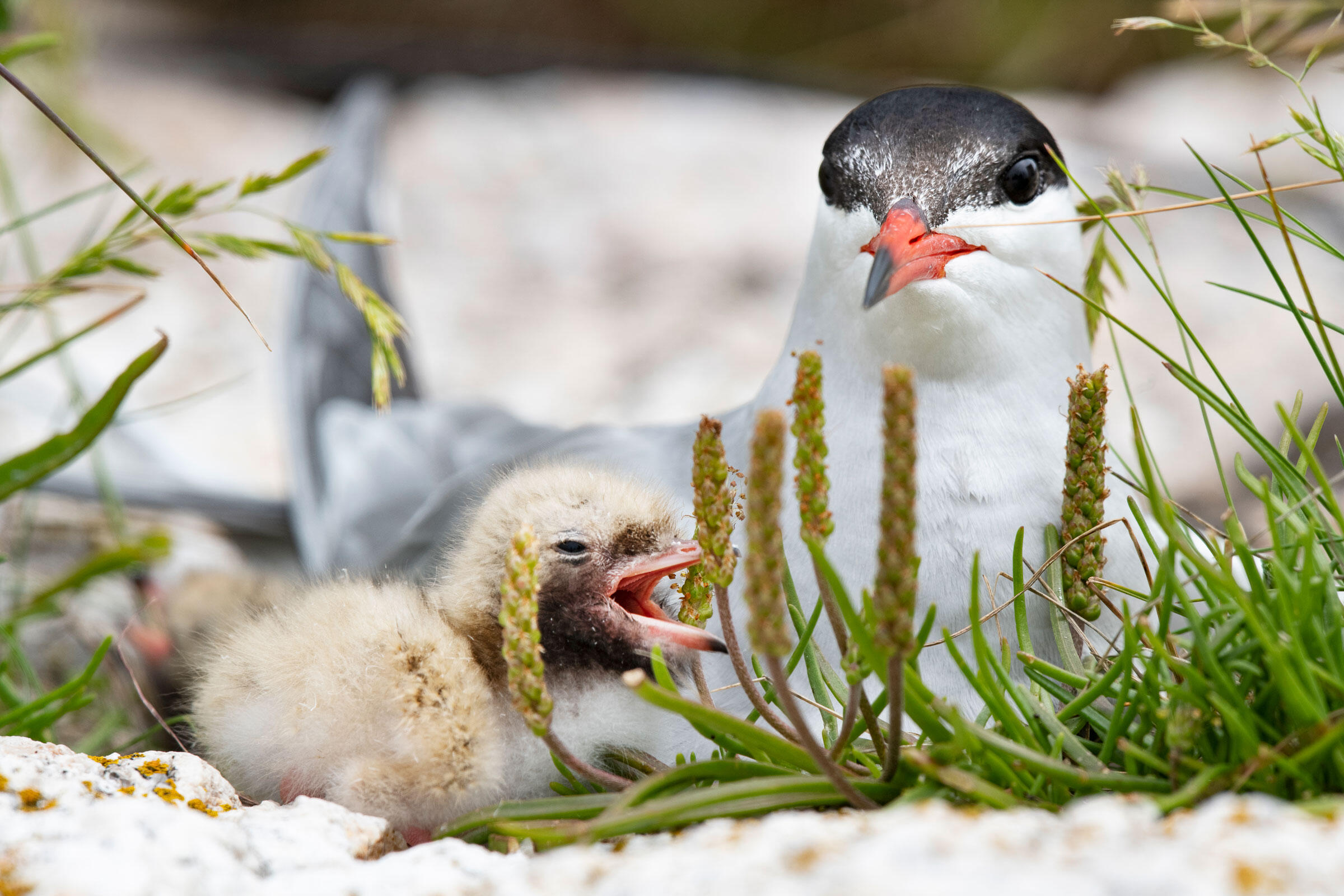 A Common Tern and its chick on a nest. Chris Linder