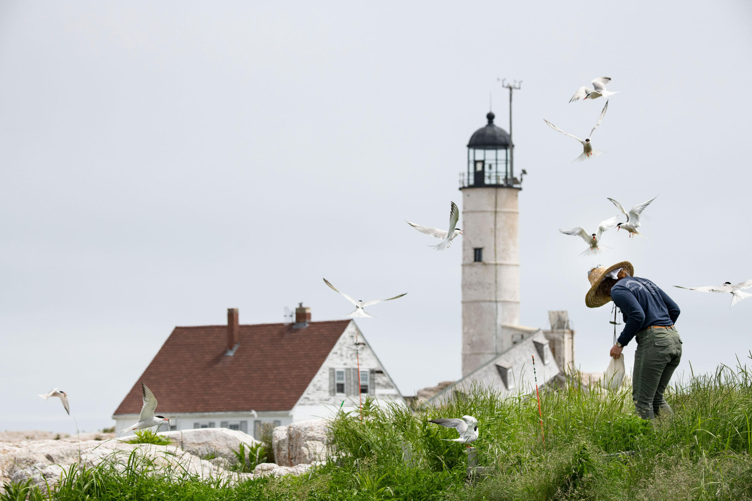 Amber Litterer, a seabird technician with Shoals Marine Laboratory, collects tern chicks to band on Seavey Island. Chris Linder