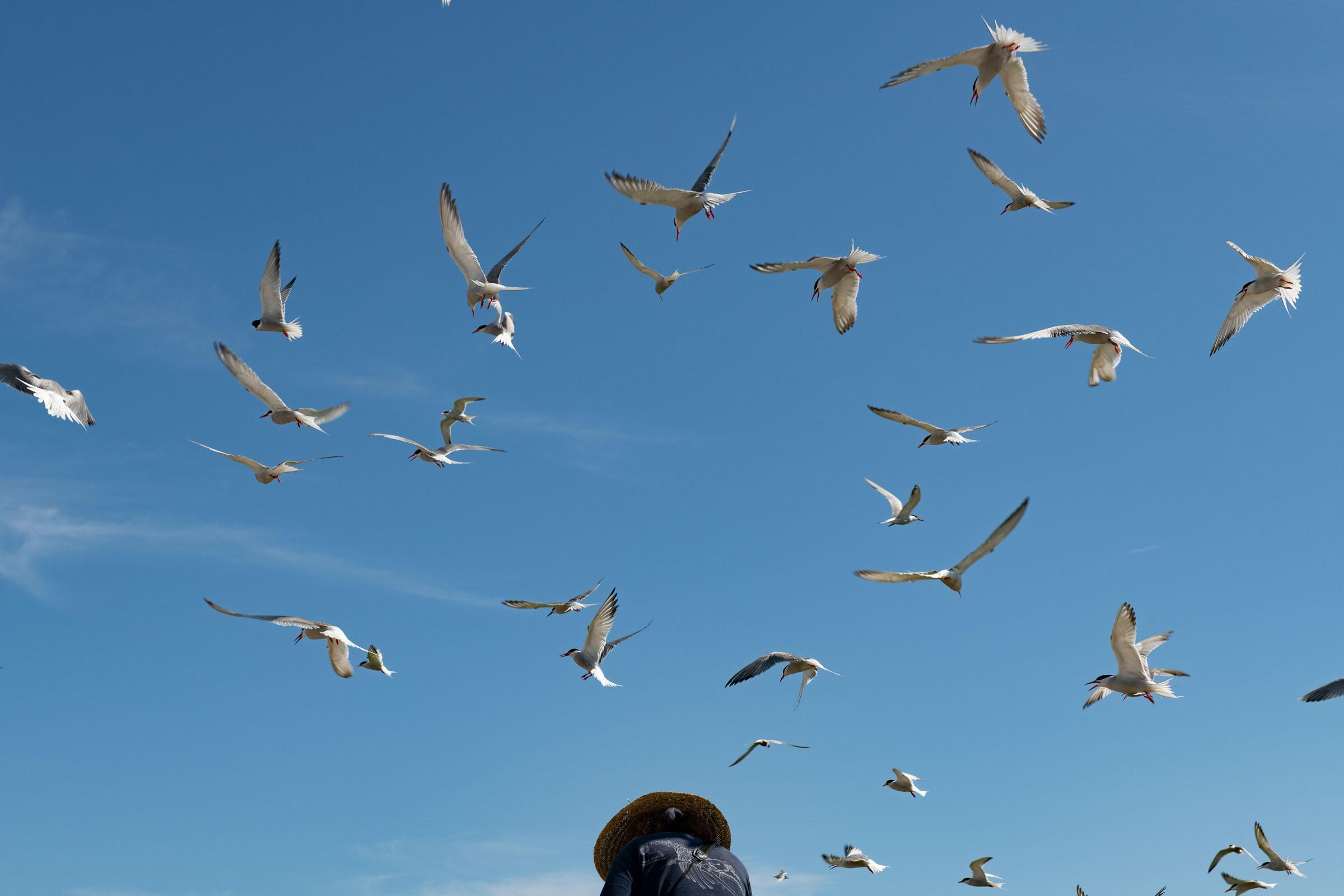 Mobbing terns. Chris Linder