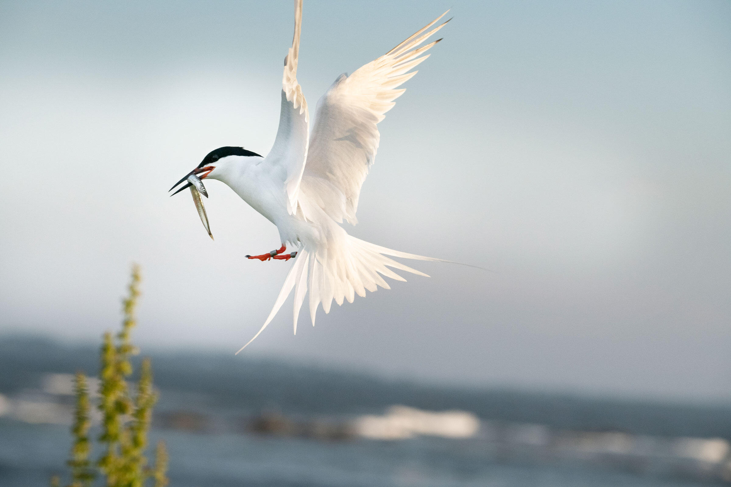 A Roseate Tern carries a sand lance to its chick. Compared with Common Terns, roseates have a longer tail and more slender bill that is mostly black, as opposed to red. Chris Linder