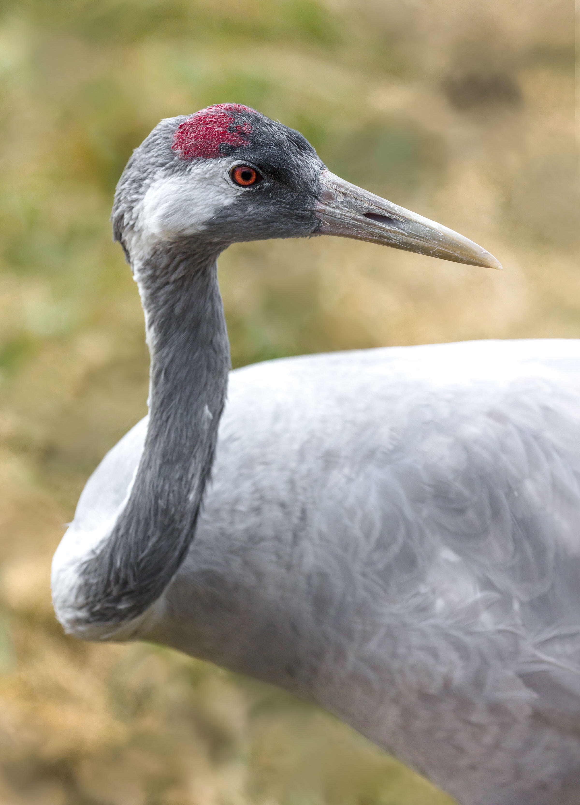 The Common Crane, also known as the Eurasian Crane, lives in more than 80 countries; it breeds throughout northern Europe and Asia and winters in northern Africa. Ted Thousand