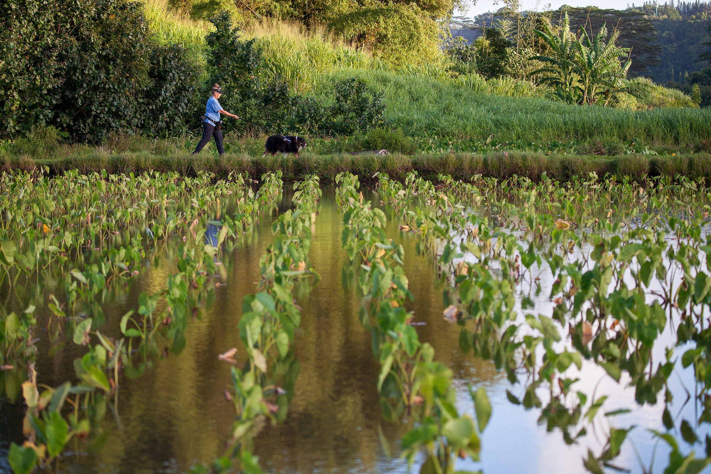 Green plants stand in rows in a flooded agricultural field. A woman in a blue shirt and a large black dog walk along the back edge of the field, with lush shrubbery in the background.