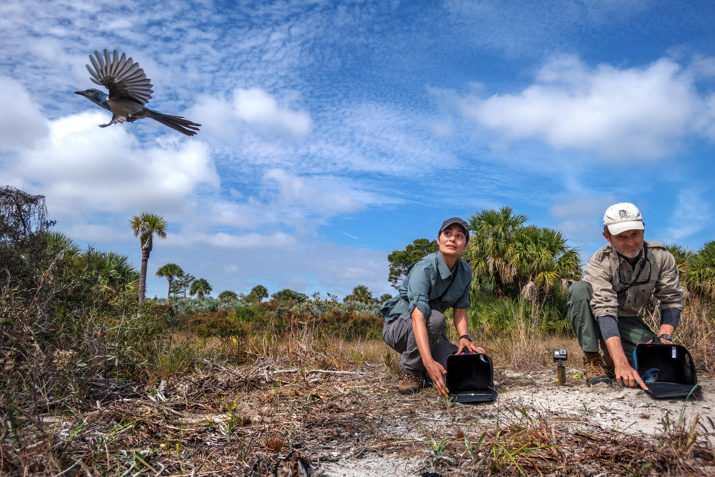Lehr and Miller release the two translocated jays at Jonathan Dickinson State Park. Carlton Ward Jr.