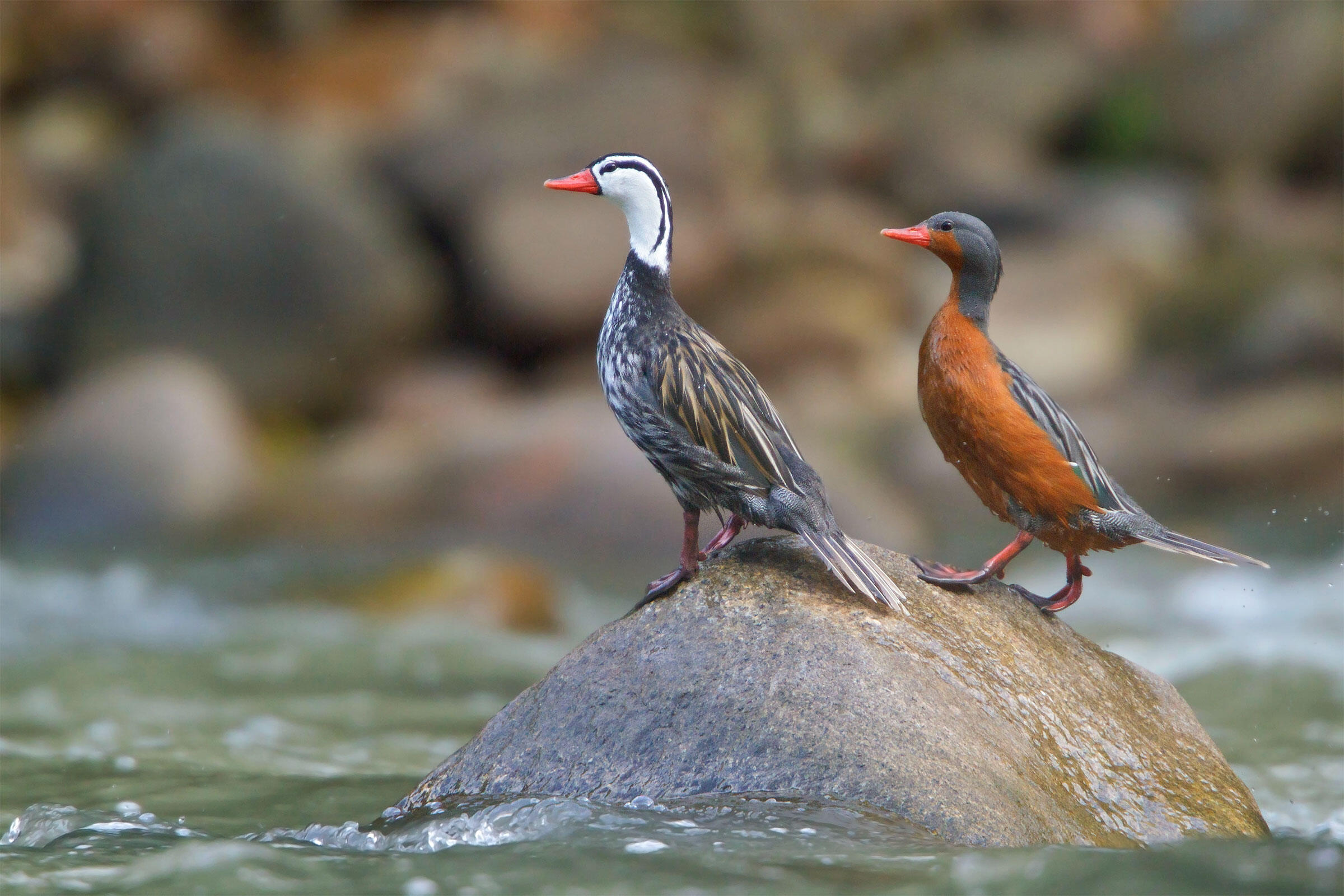 Male (left) and female (right). All Canada Photos/Alamy