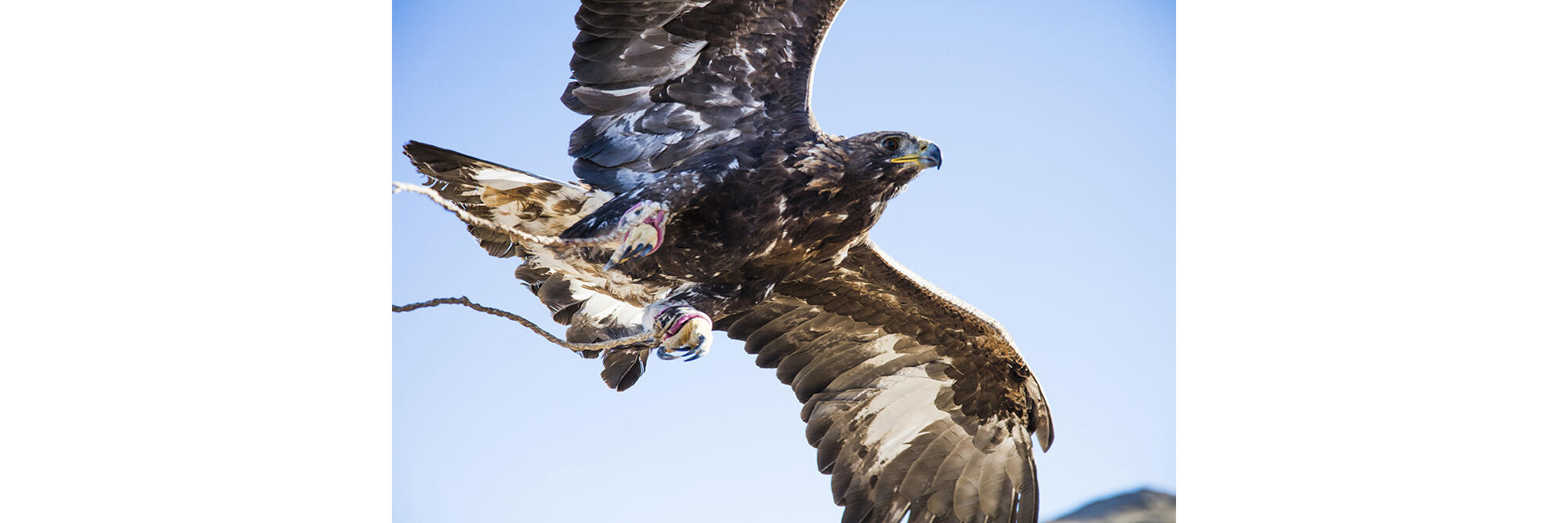 """Leather straps called """"jesses"""" attached to the legs of Cheruch's eagle dangle in flight. When she's sitting on his forearm, he grips the anklet to keep her from taking flight. Cedric Angeles/Intersection Photos"""