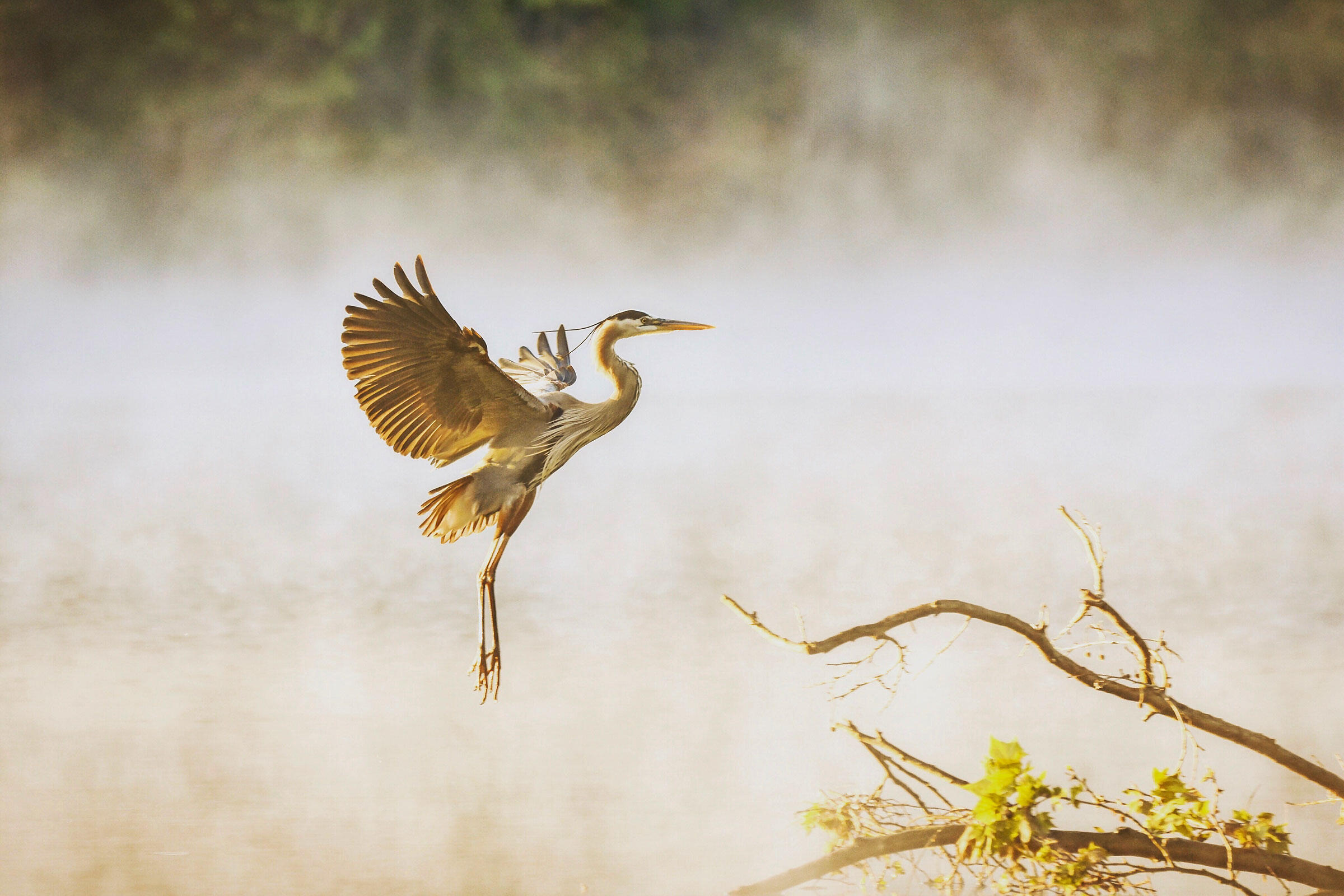 Great Blue Heron. Emily Critcher, Catawba River, Mount Holly, NC