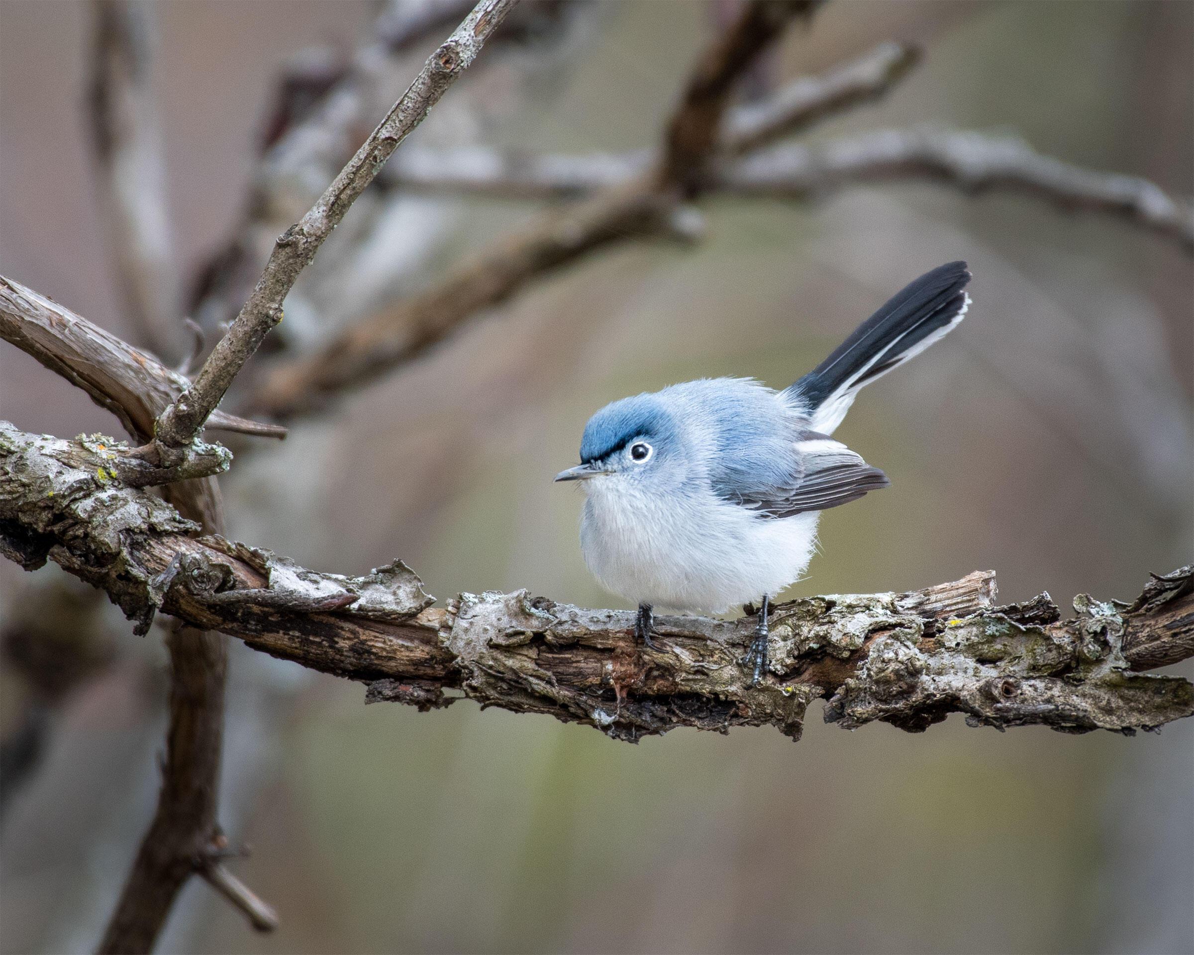 Blue-gray Gnatcatcher. Emily Tornga, Grand Haven, MI