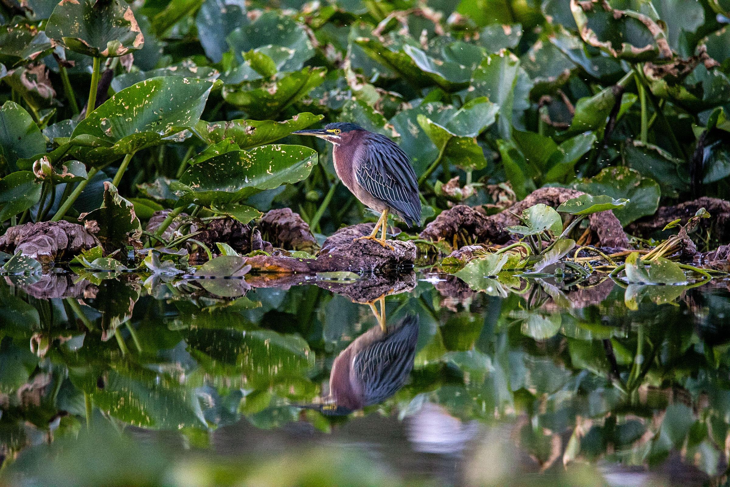 Green Heron. Federico Acevedo, Weston, FL