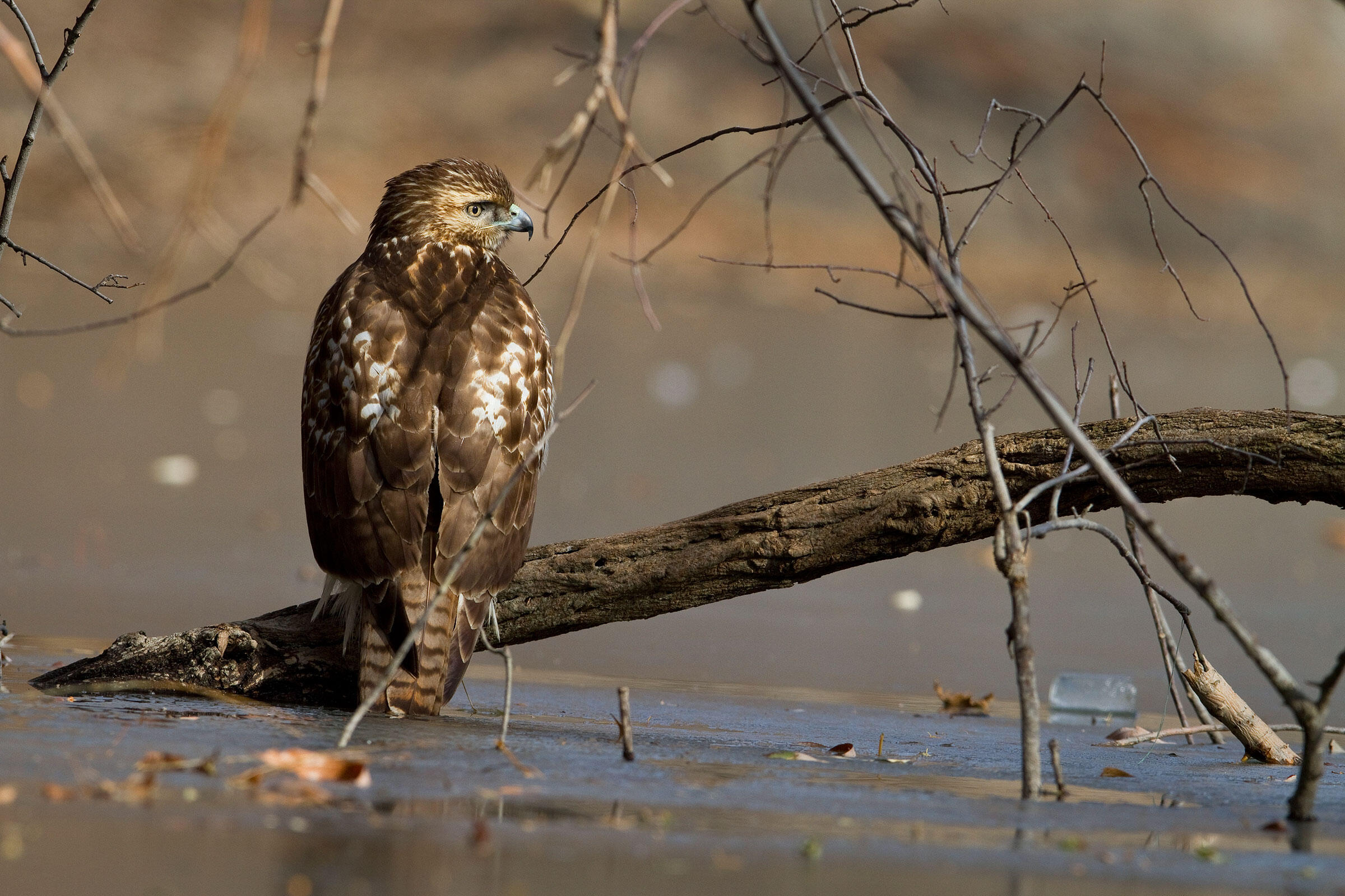 Red-tailed Hawks are flourishing in New York City to the benefit of birders. Francois Portmann