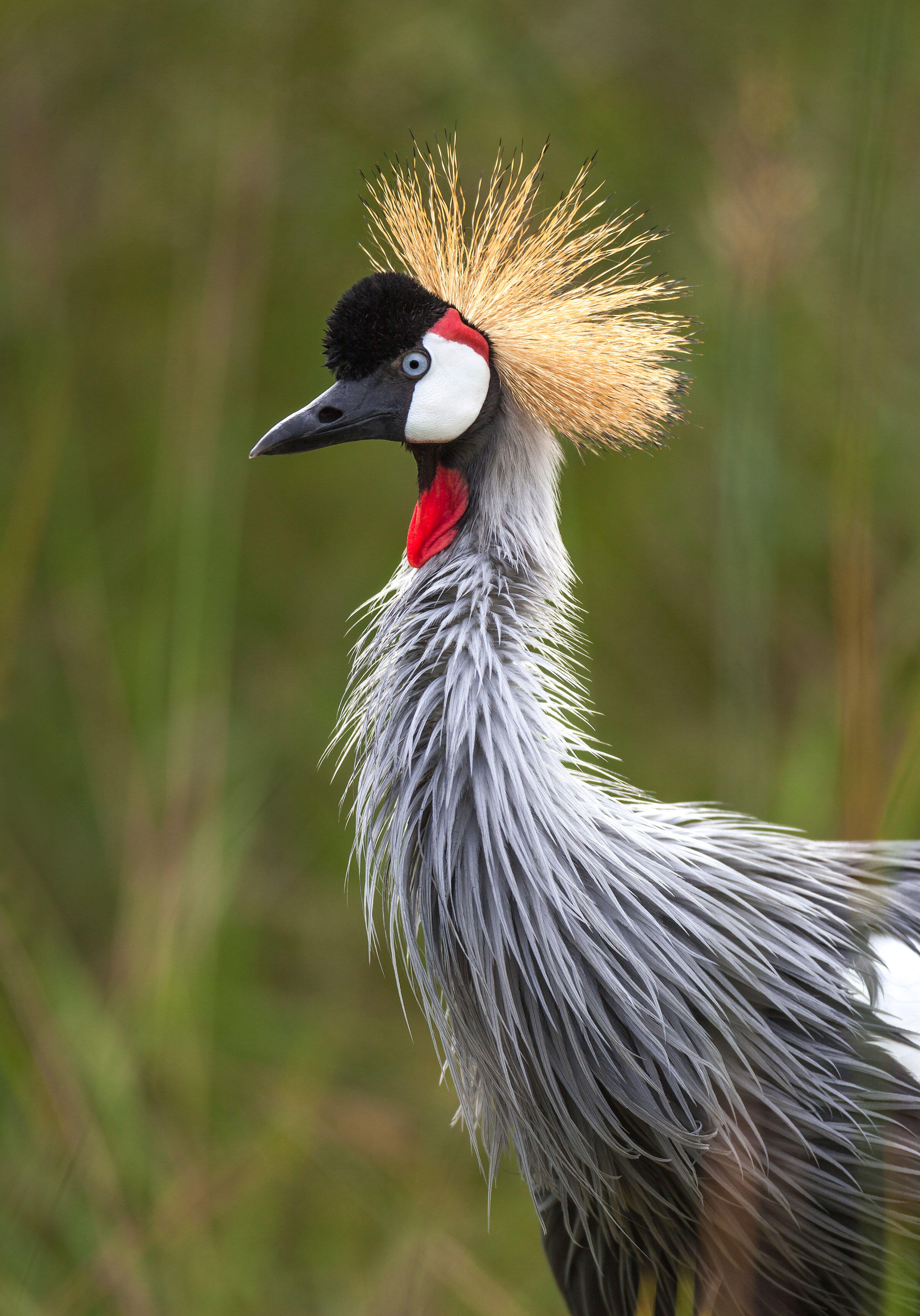 A Grey Crowned-Crane, the national bird of Uganda, shows off its crown of stiff, golden feathers. Around 30,000 of the birds live in the dry savannah in Africa south of the Sahara Desert. Ted Thousand