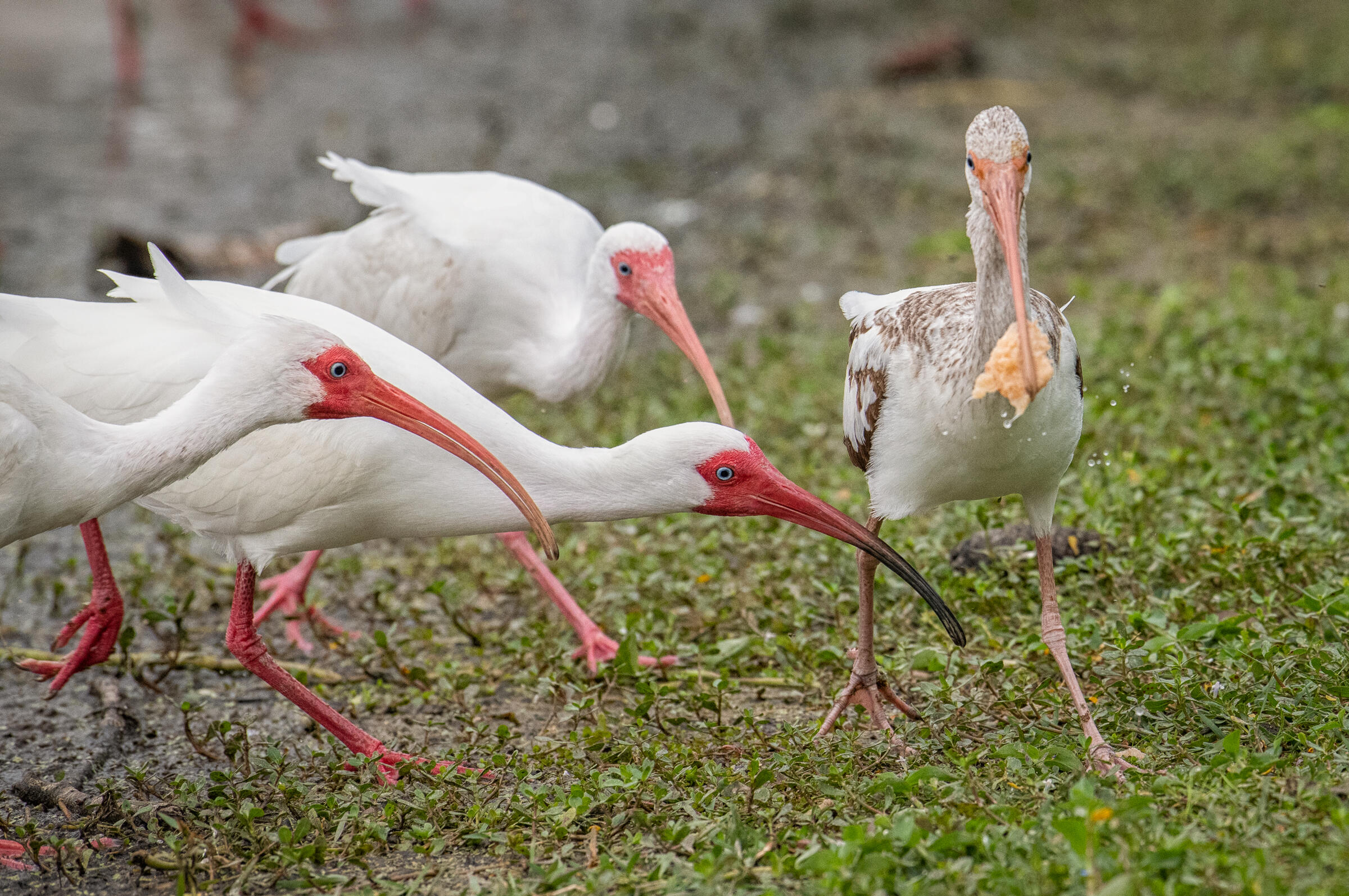 A mottled brown bird holds the piece of bread in its long red beak, while three other all-white birds reach for the bread with their beaks and heads outstretched.